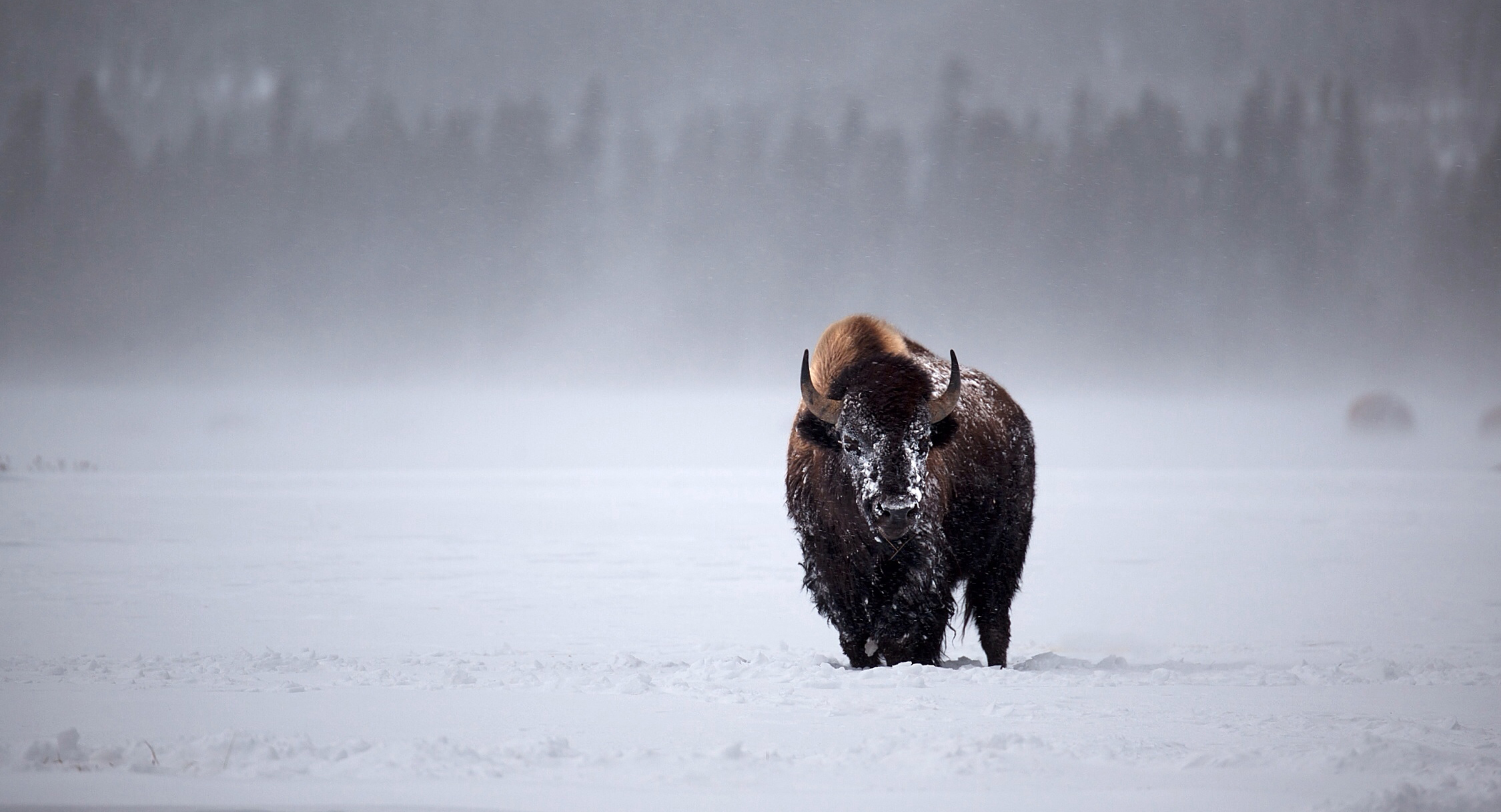 2014-02 - Yellowstone Bison in Distance - WEBSITE.jpg