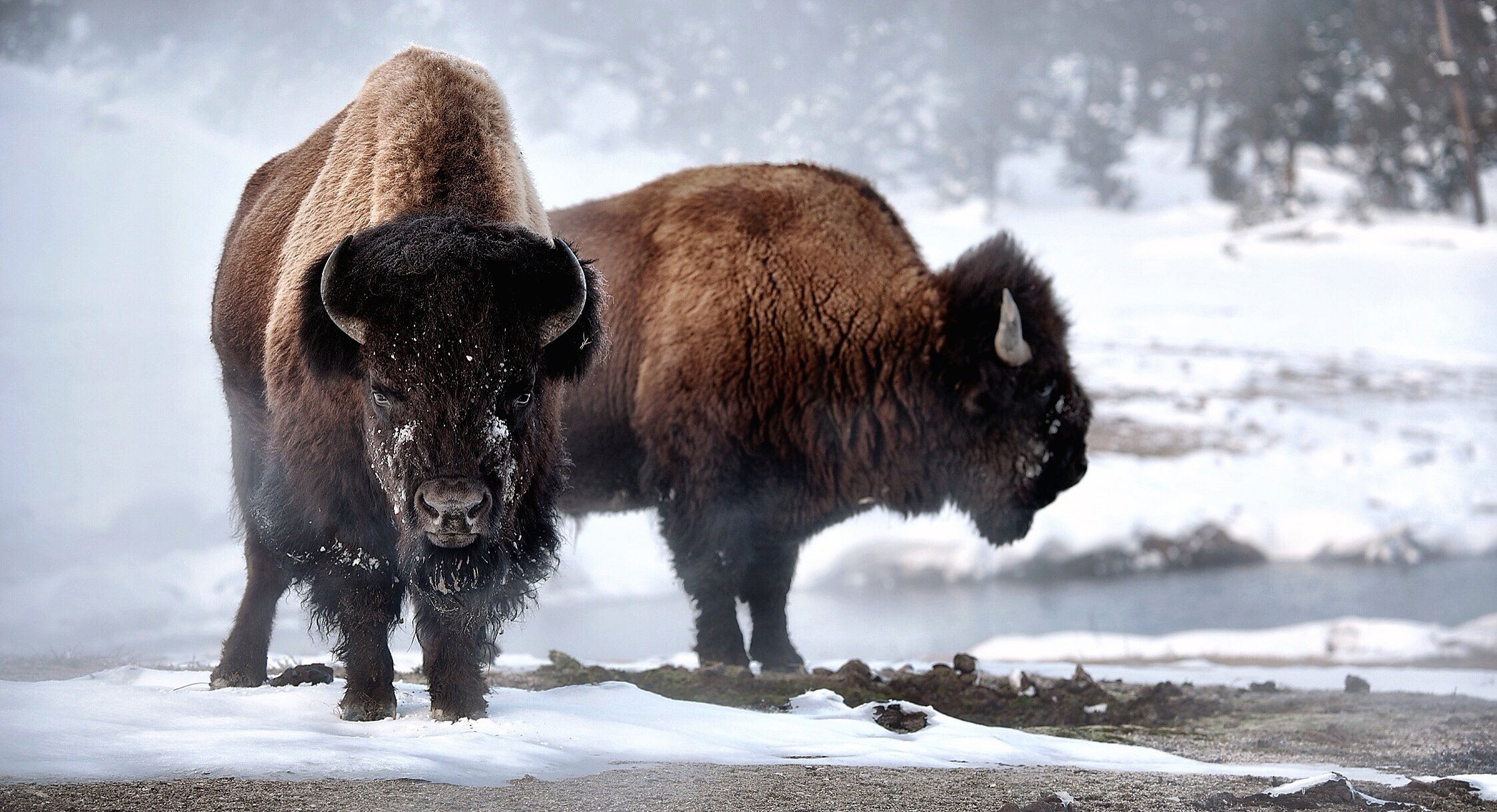 Copyright eBradshaw,com - Yellowstone Bison Pair.jpg.jpg