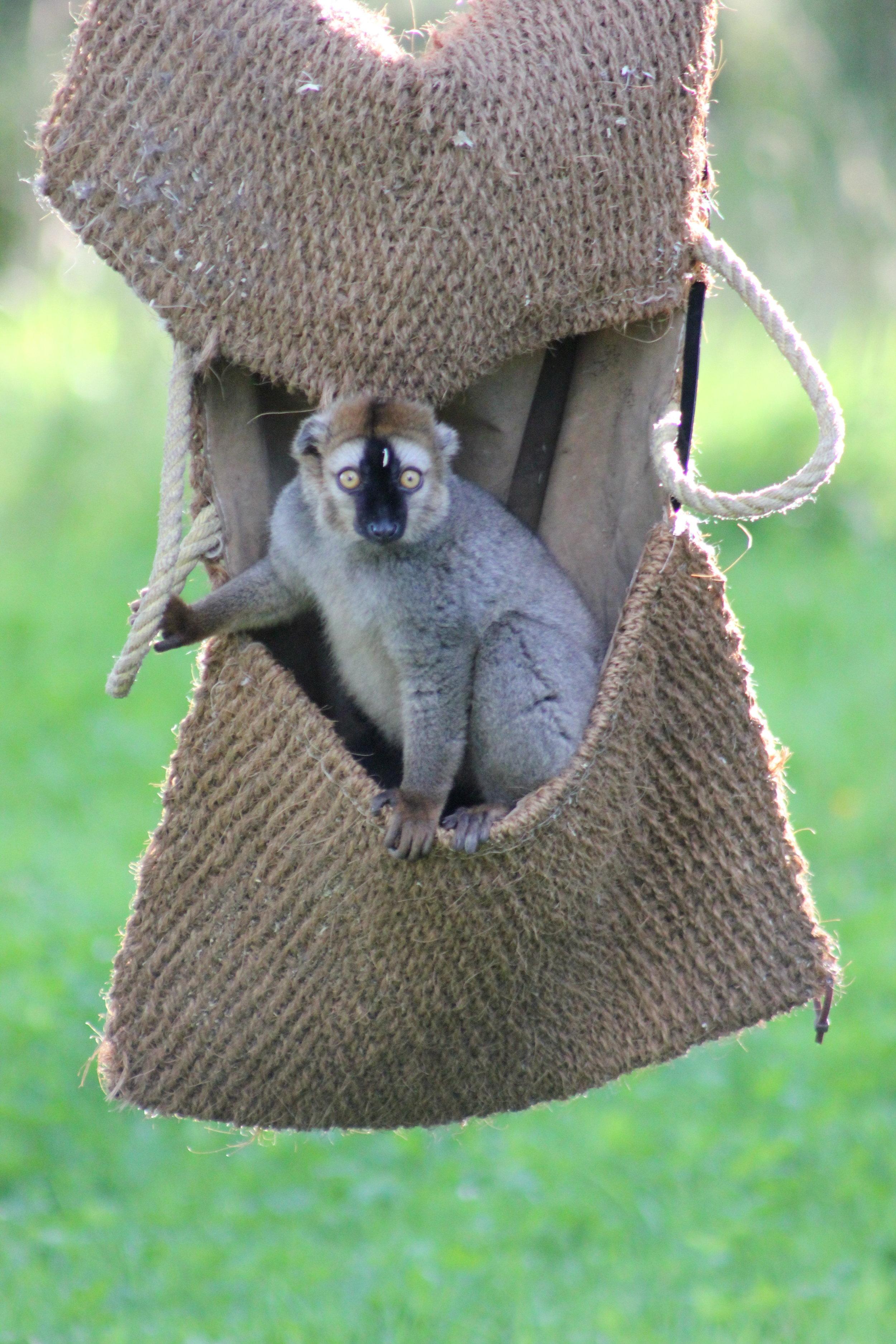 Lemur IMG_3727.JPG