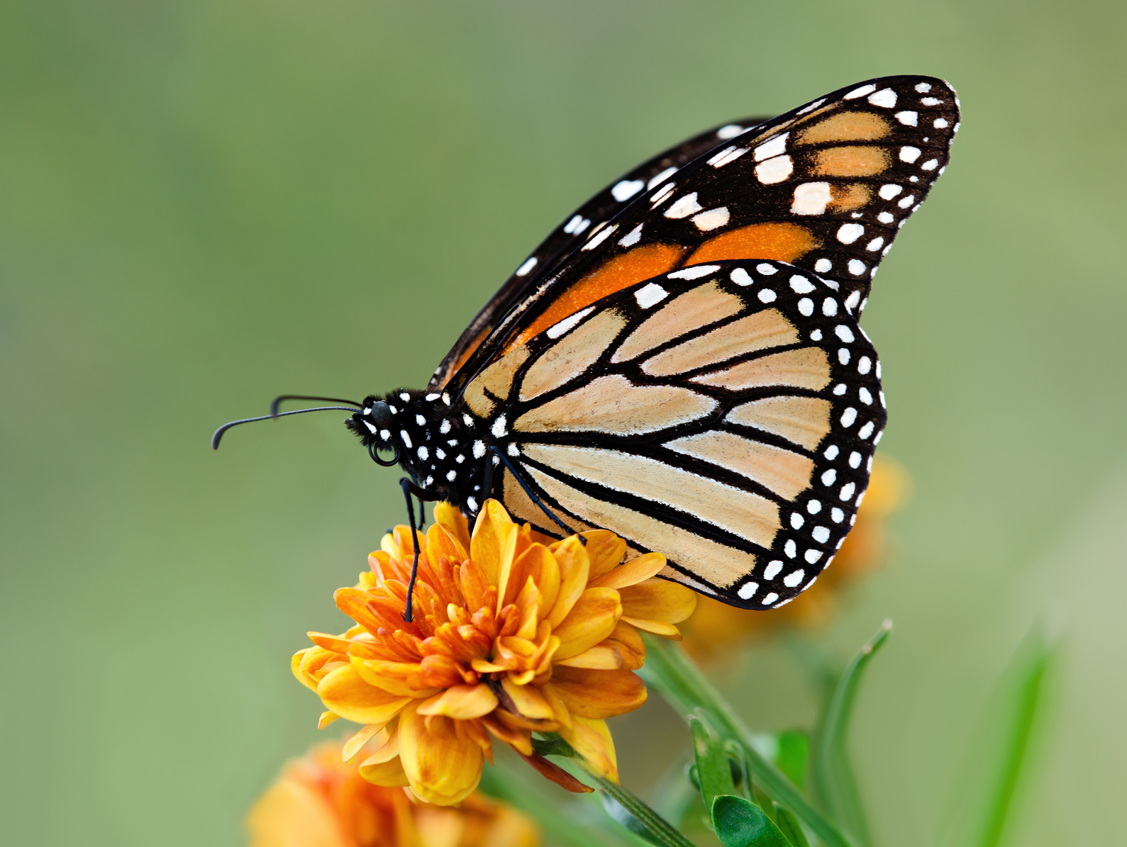 Monarch Butterflies, bees, and all pollinators need protection from Neocinotinoids!