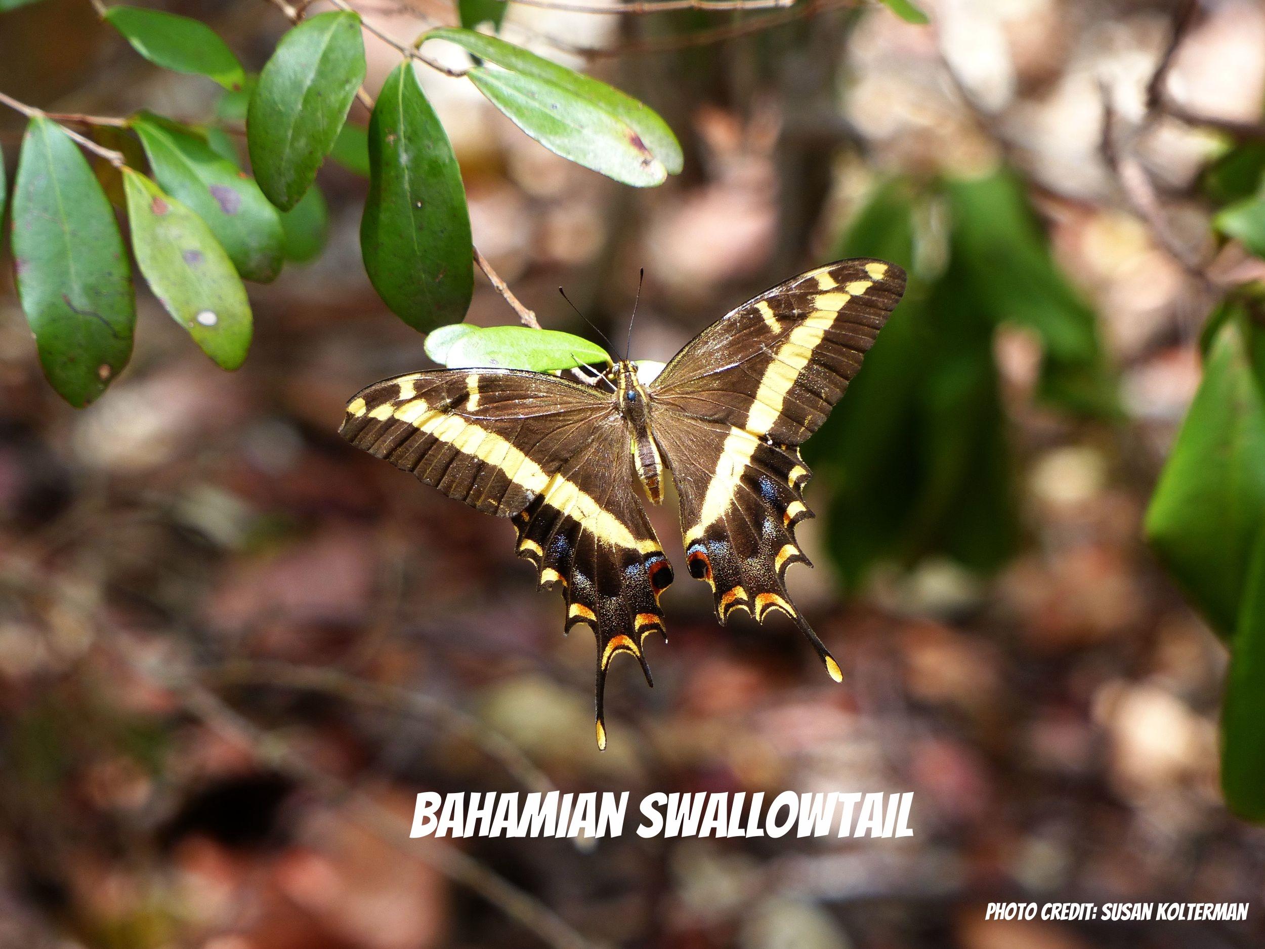 5-28-14 Elliot Key- Bahamian swallowtail.jpg