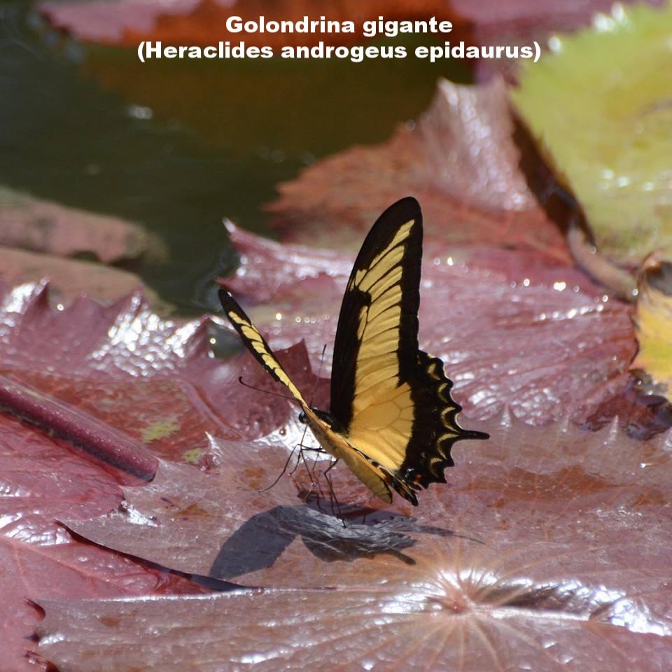 Heraclides species.jpg