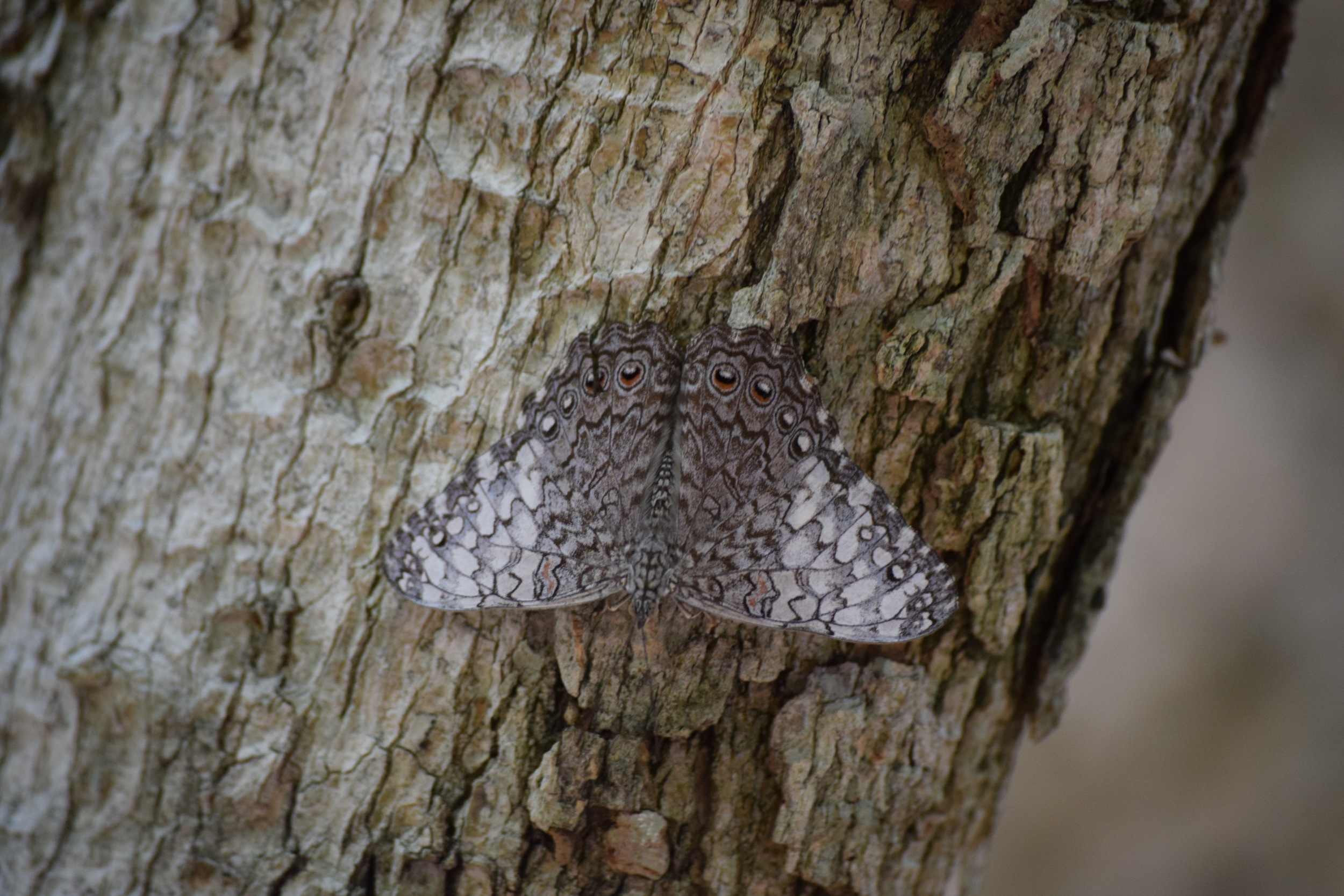 Mottles butterfly.jpg