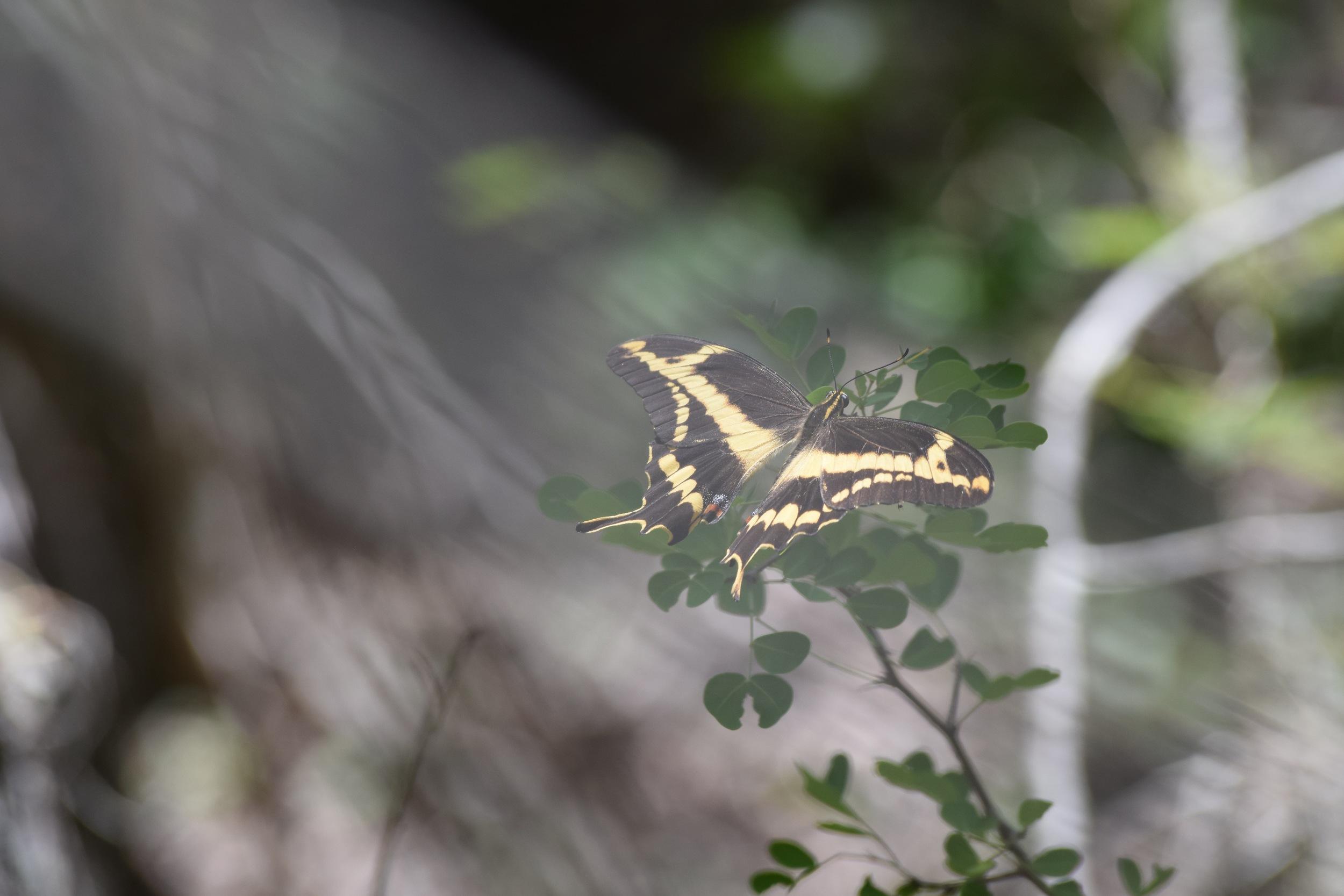 Schaus swallowtail PR Sun.jpg