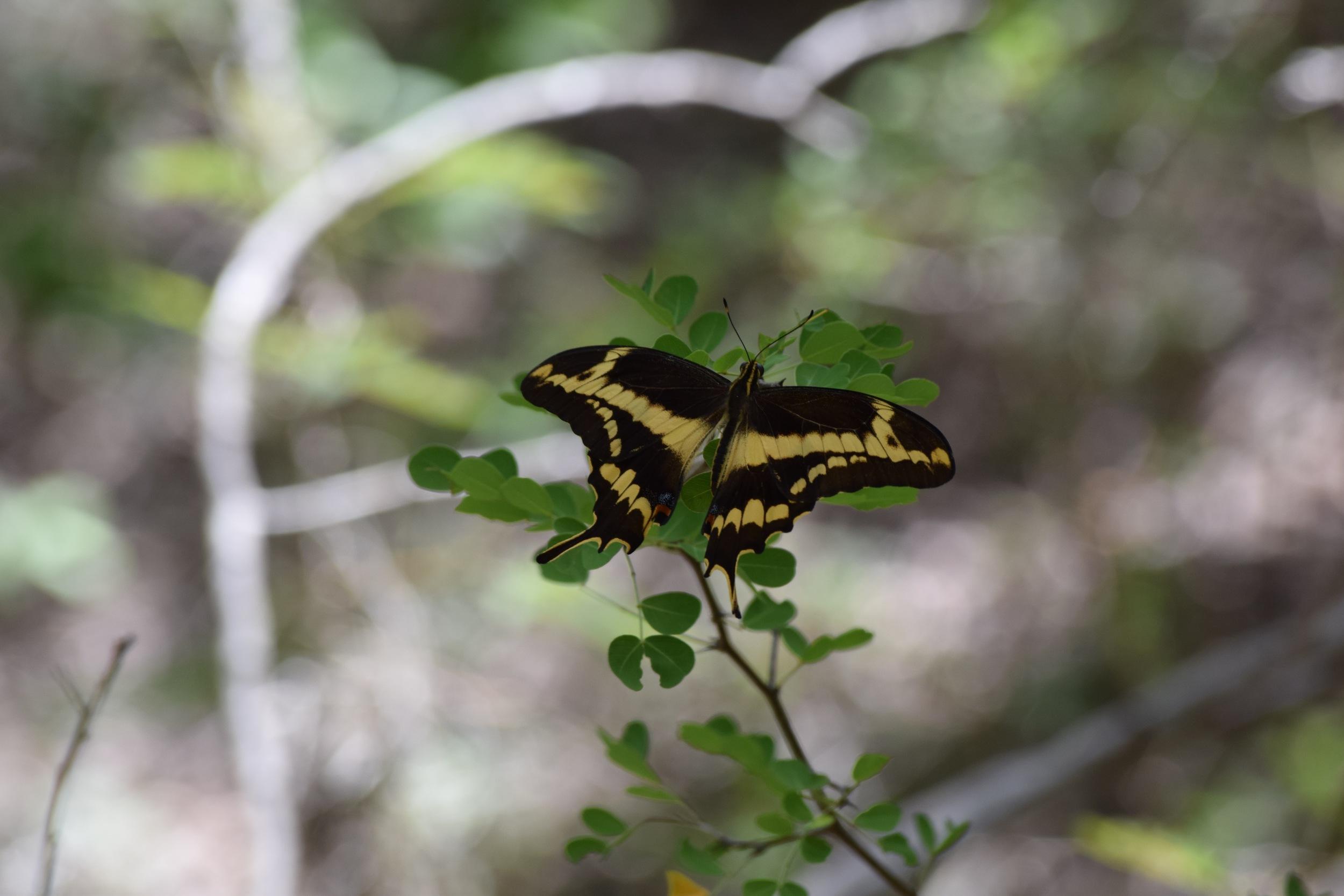 Schaus swallowtail PR.jpg