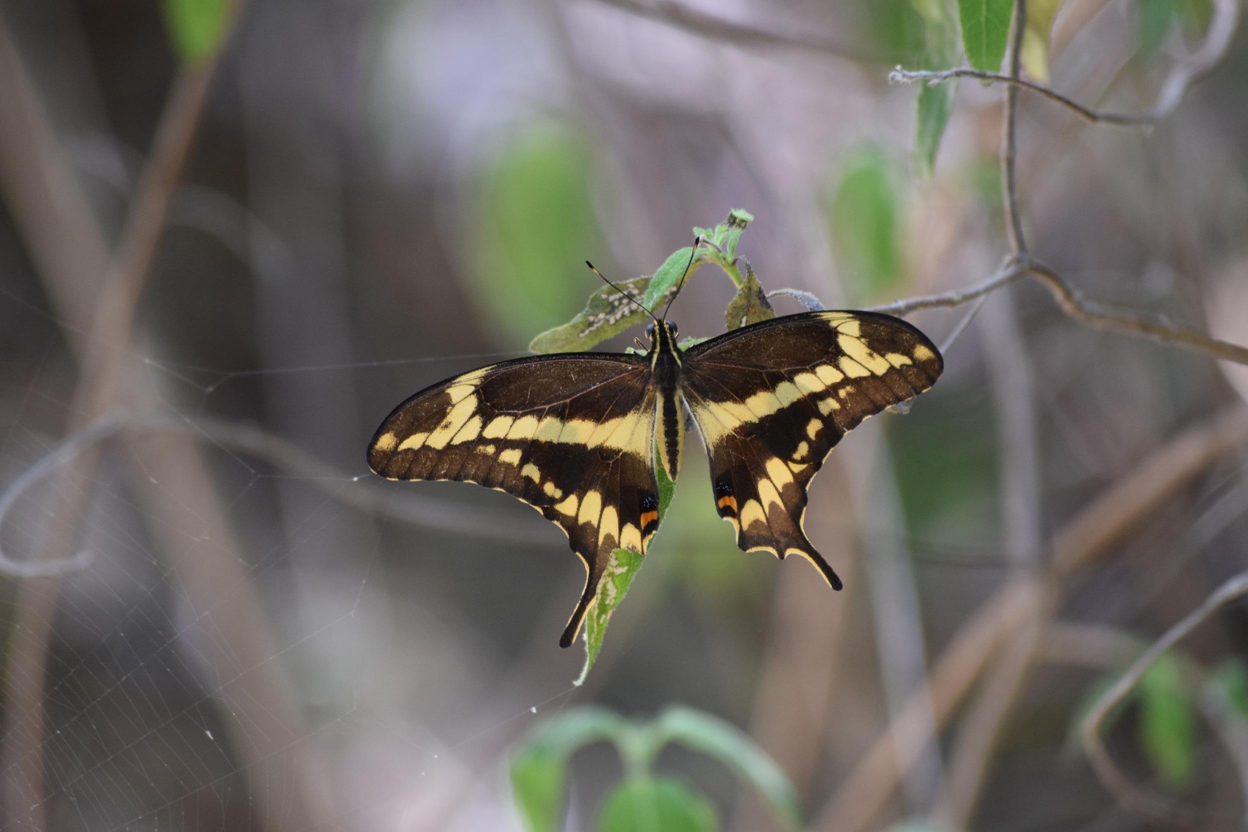 Schaus swallowtail.jpg