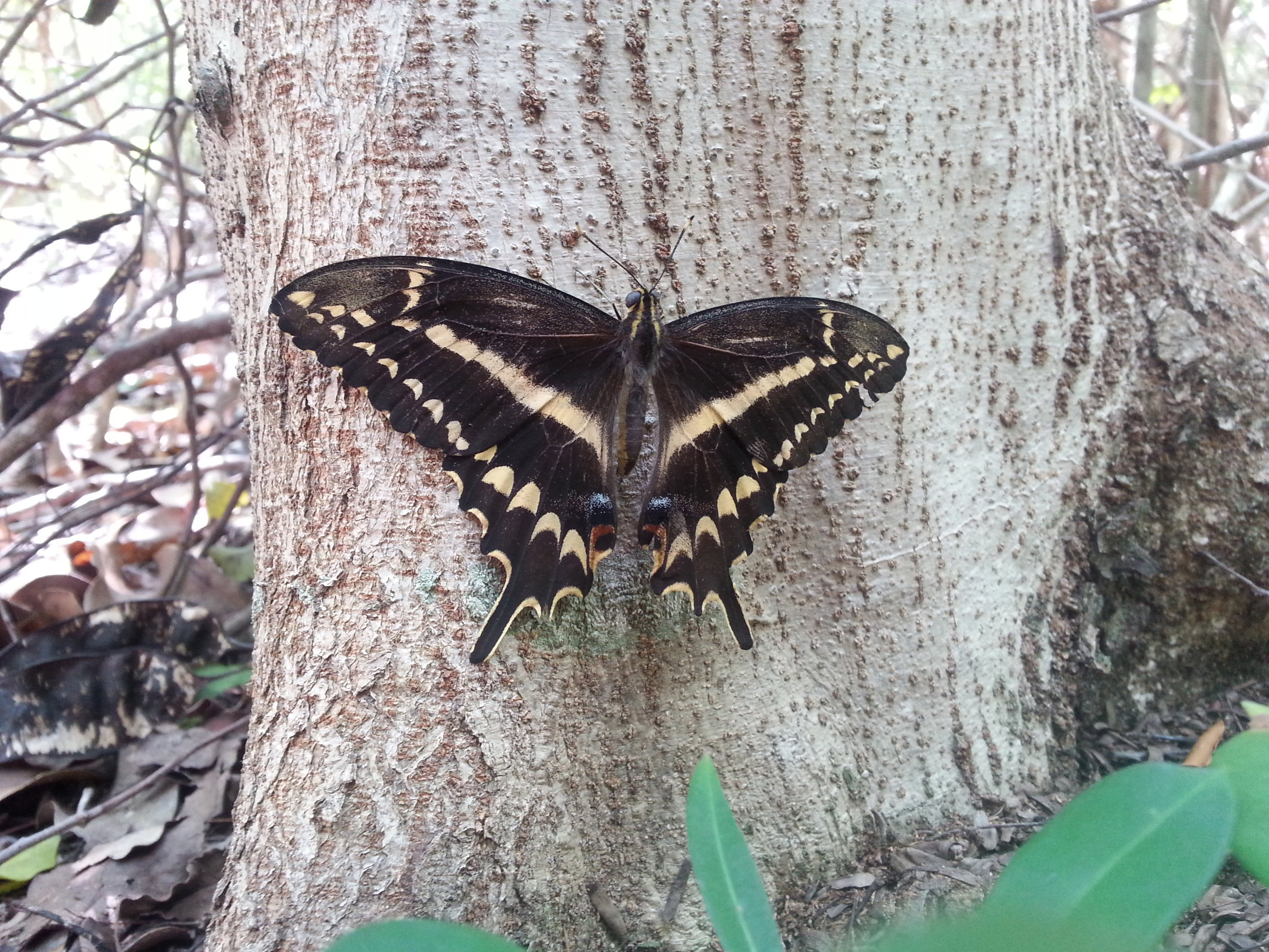 The federally endangered Schaus's swallowtail butterfly (Heraclides aristodemus ponceanus) is a univoltine (maybe) species that inhabits subtropical dry forest in the Florida Keys.