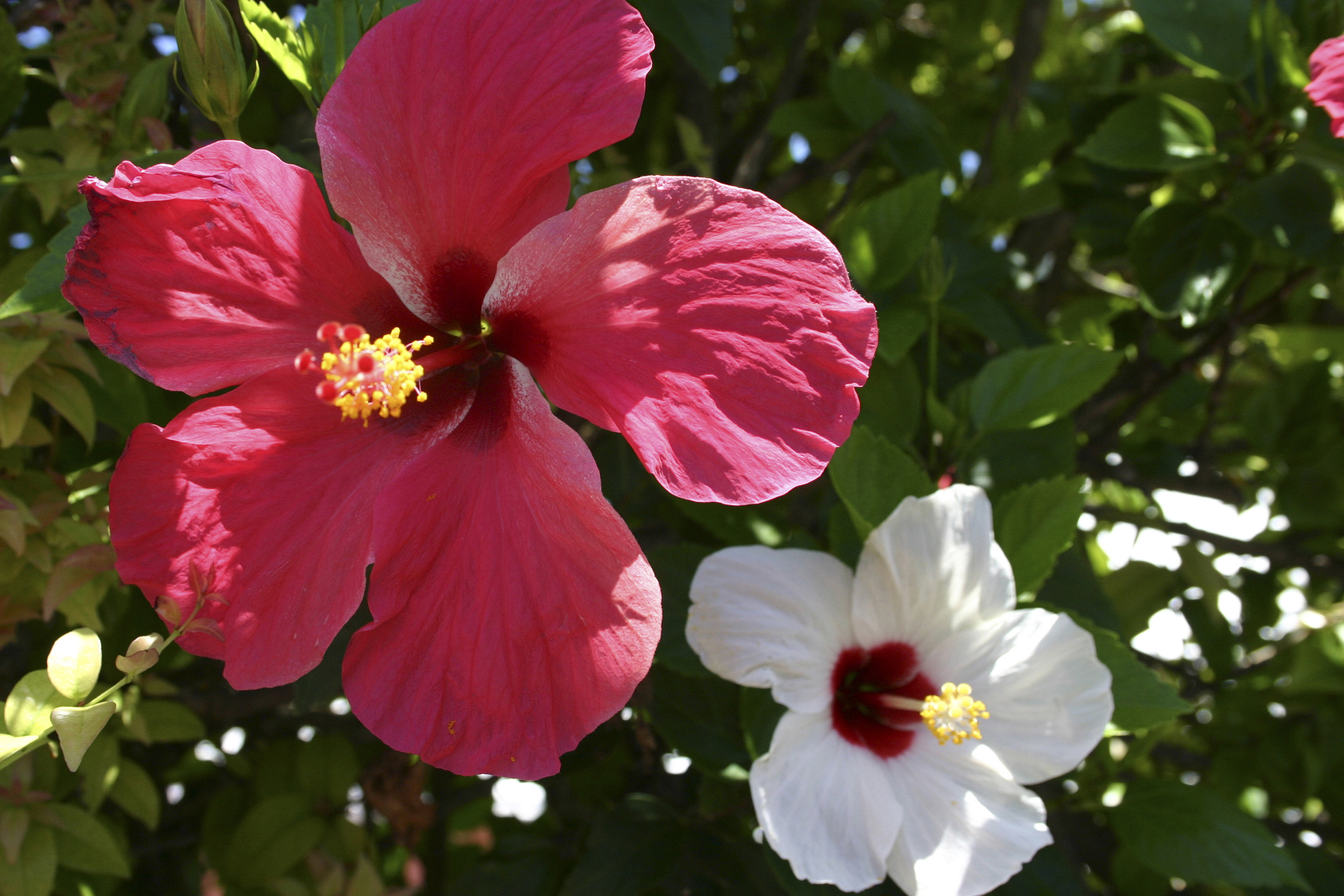 """""""Bermuda Hibiscus"""" by Patricia Brock, 36x24in, photography on brushed aluminum, $454 
