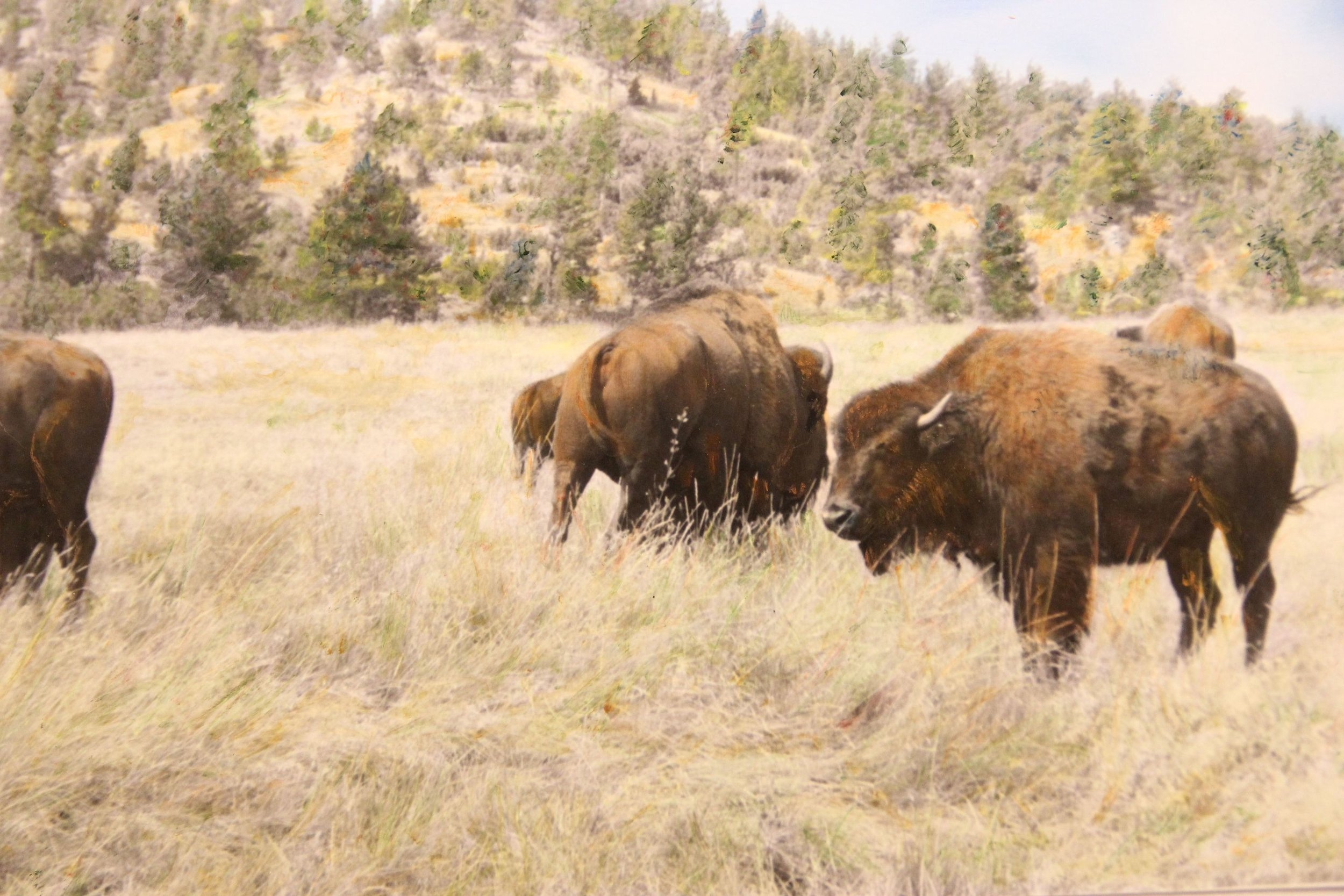 """""""Buffalo (Custer)"""" by Judy Rosati, 16x20in, hand colored silver gelatin photograph (2015), $125 (matted & framed)