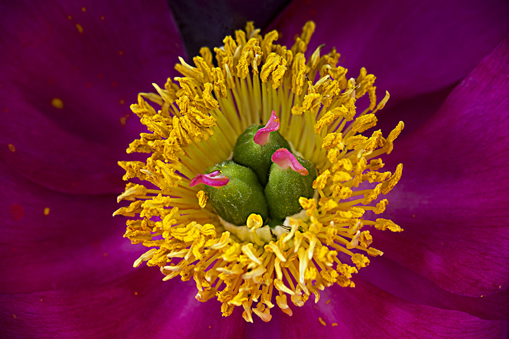 """Peony"" by Julius Friedman, photography"