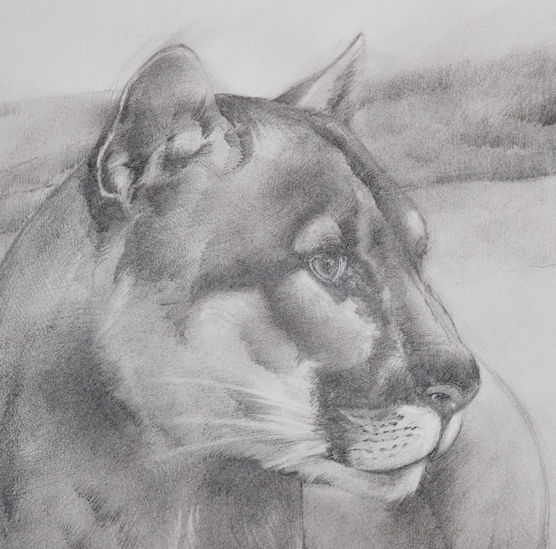 """Cougar Outlook"" (detail) by Monica Barnett, Graphite, 24x30in, 2019, $500"