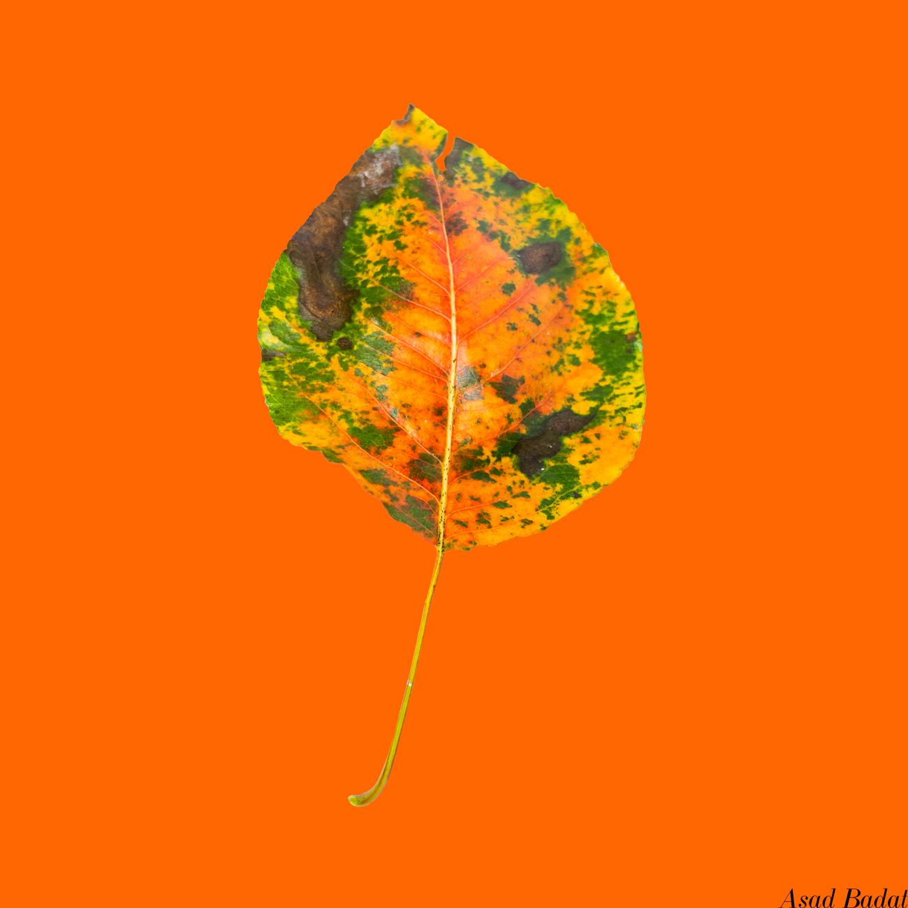 Asad-Badat-Autumn-Leaves.jpg