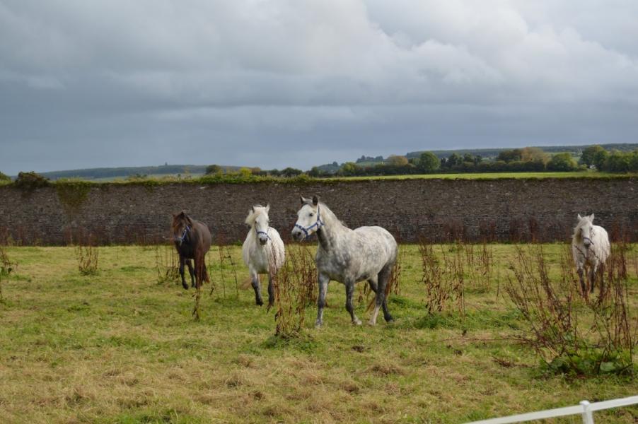irish ponies at ballyvolane house