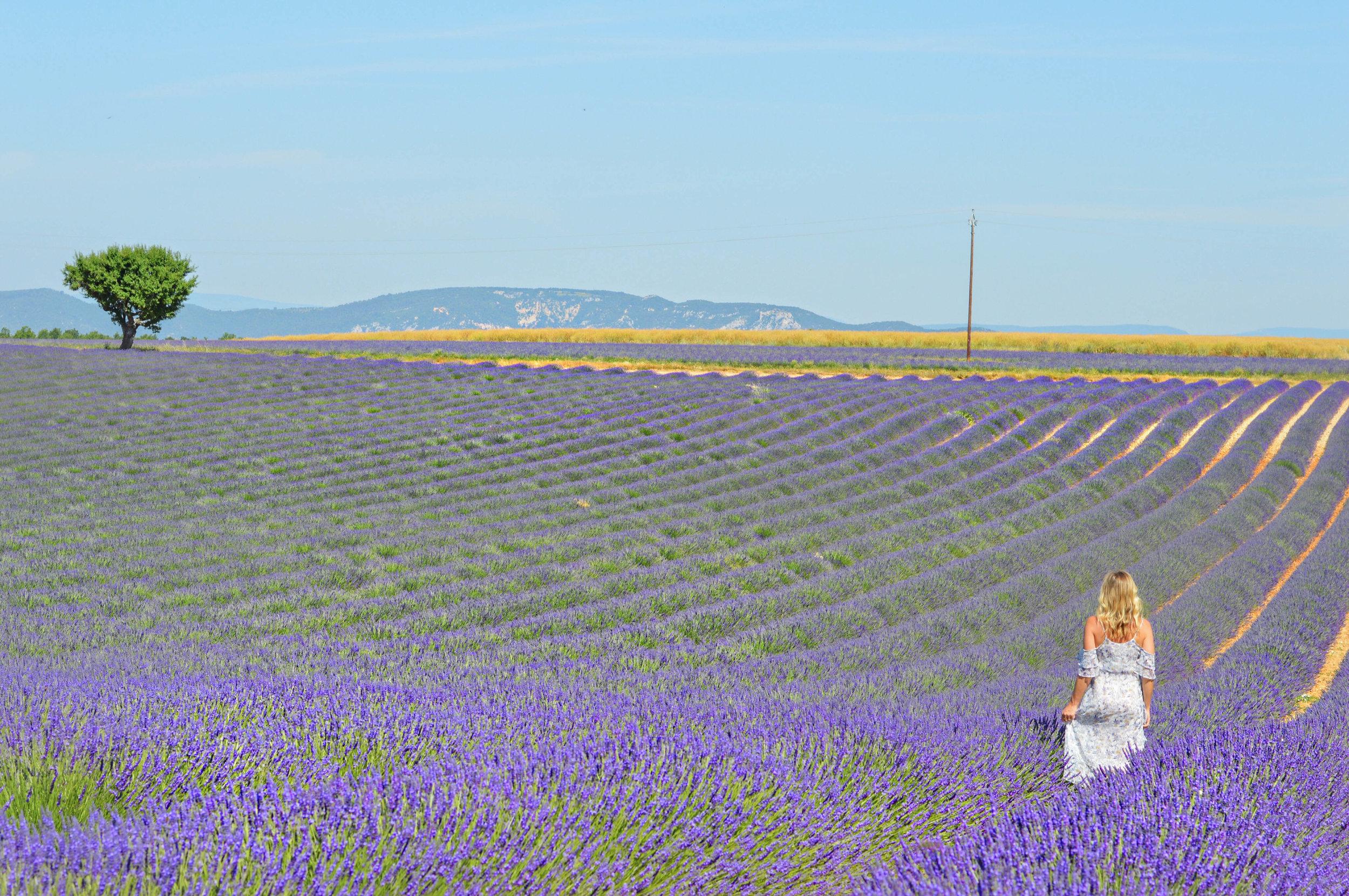 valensole lavender fields provence france