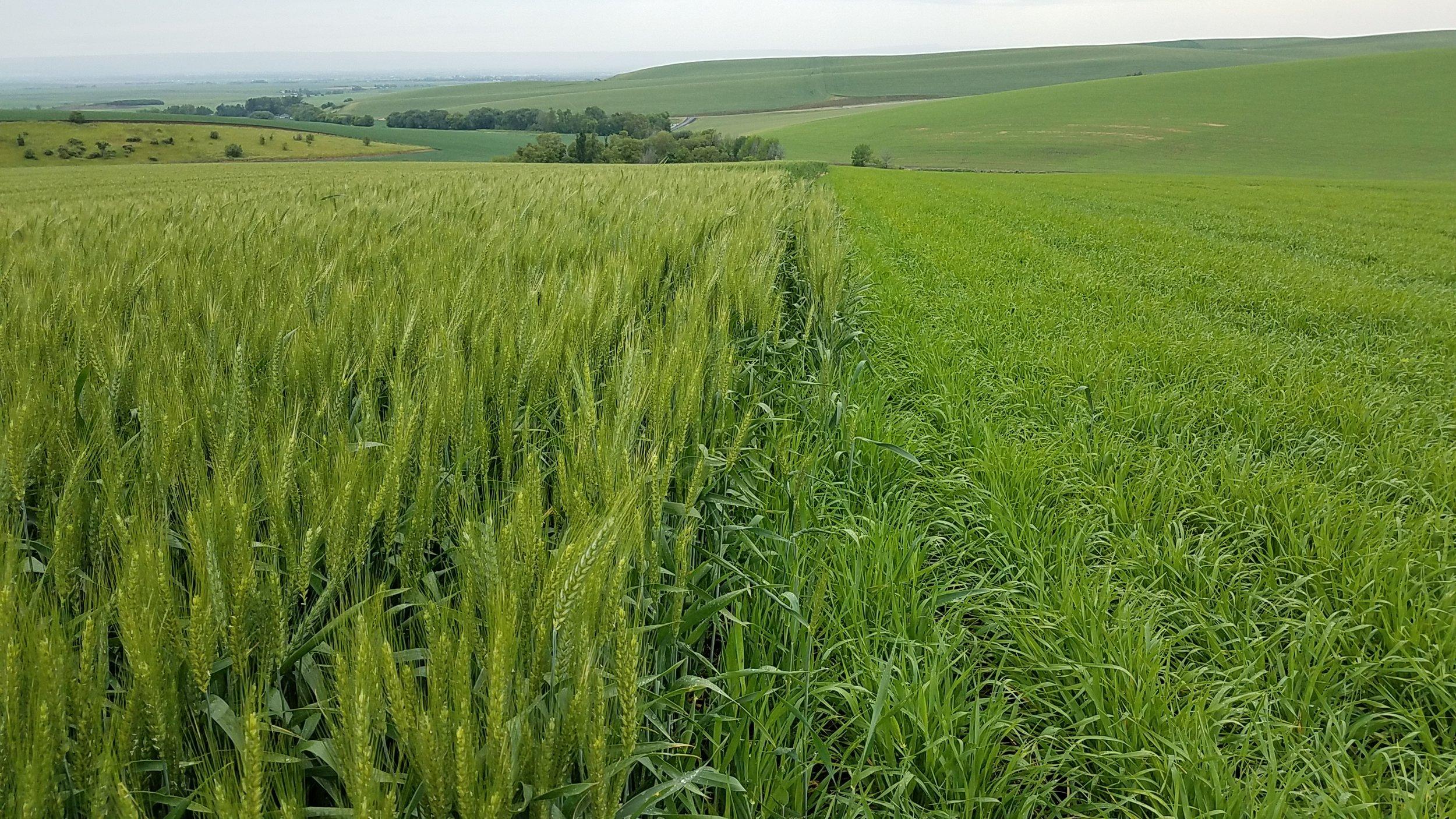 SWW Wheat & Genie, Rain, 6/4