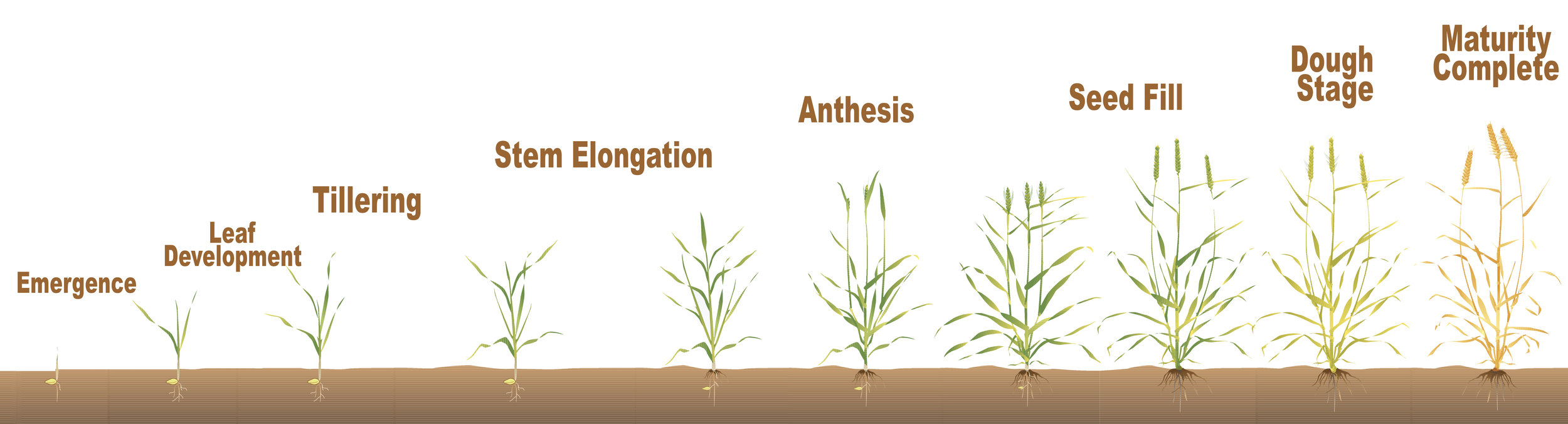Graphic Source: Adapted from Grain Research & Development Corporation, Cereal Growth Stages (2005)