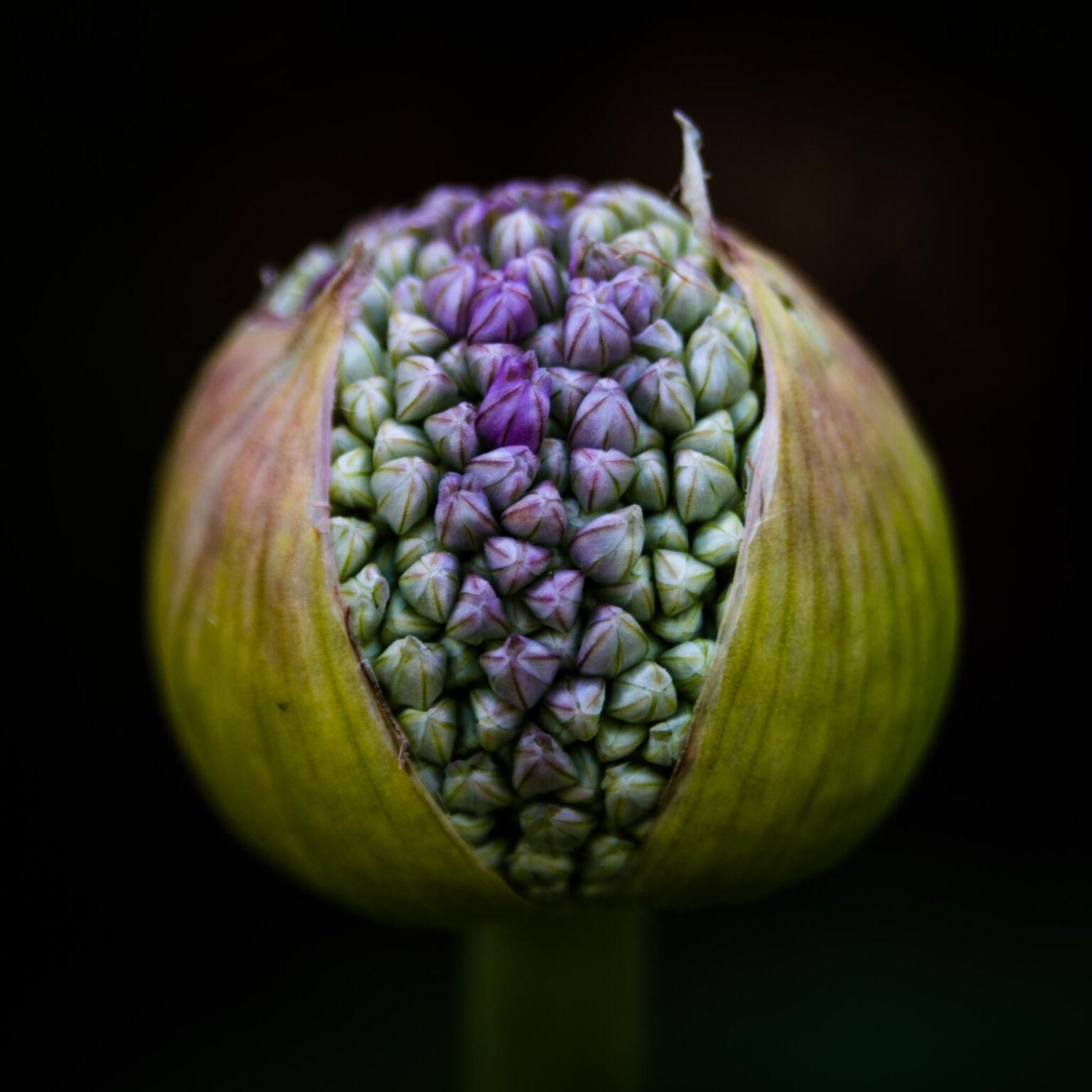 """Chip Standifer, """"Allium No 1"""""""