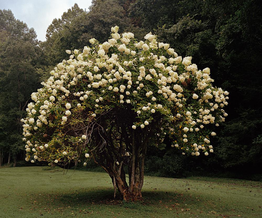 """""""Magnolia Tree"""""""
