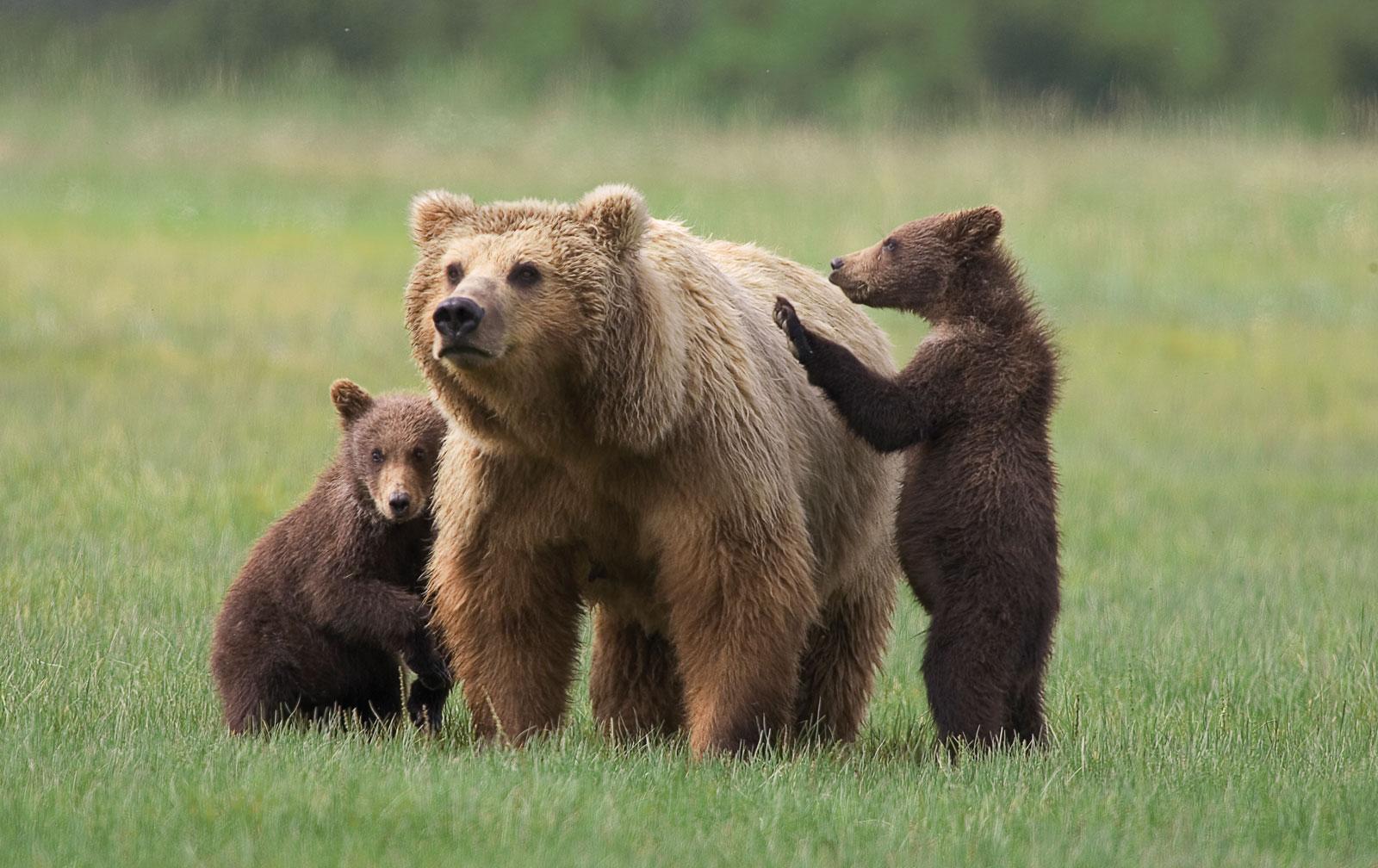 Bears Grow Quickly | VanillaArts.com