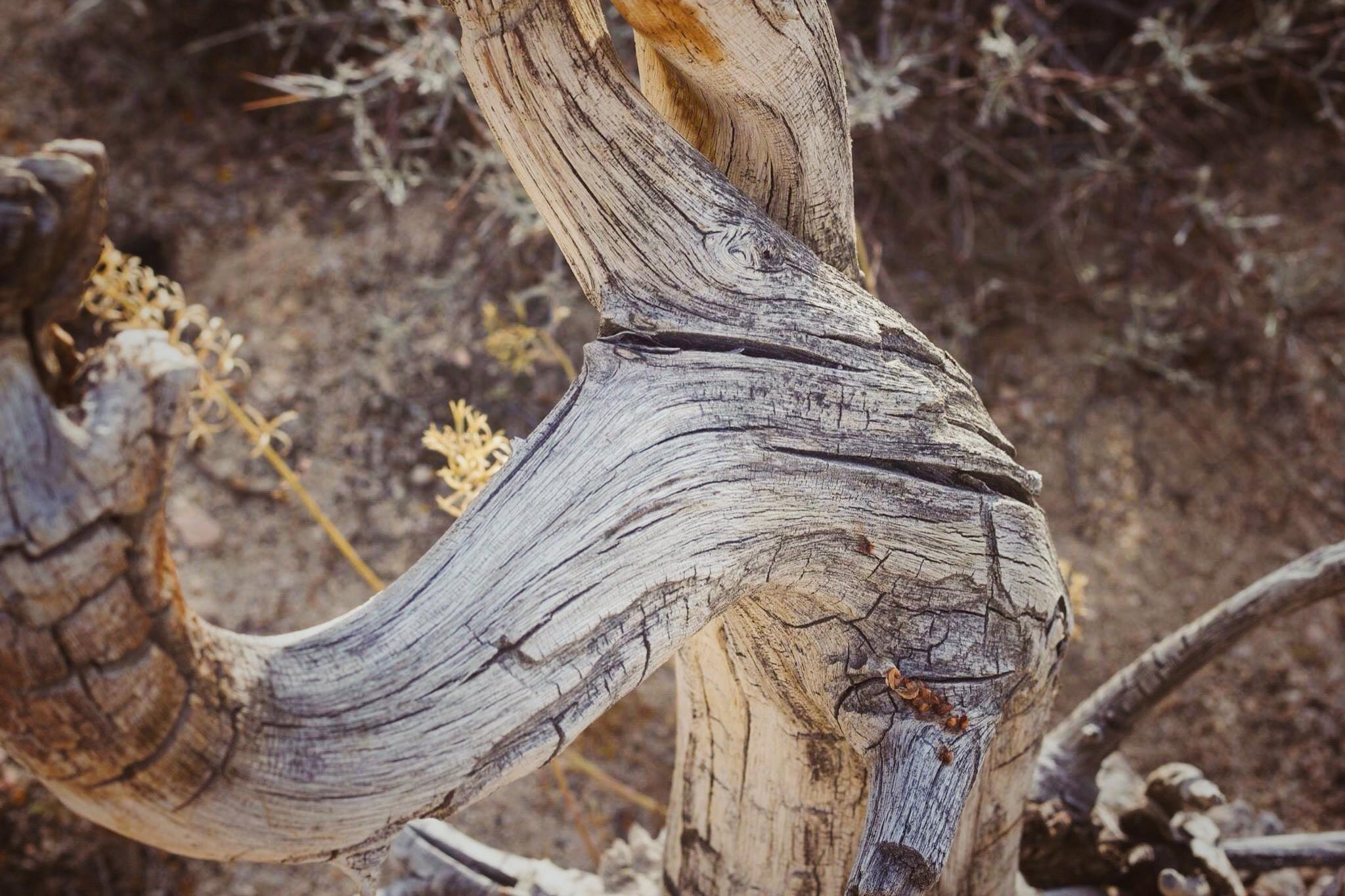 tree in desert encampement case of thenomads.jpg