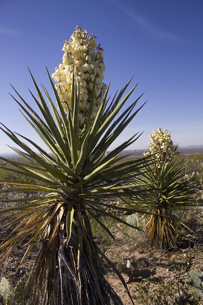 Yucca 1 websize.jpg