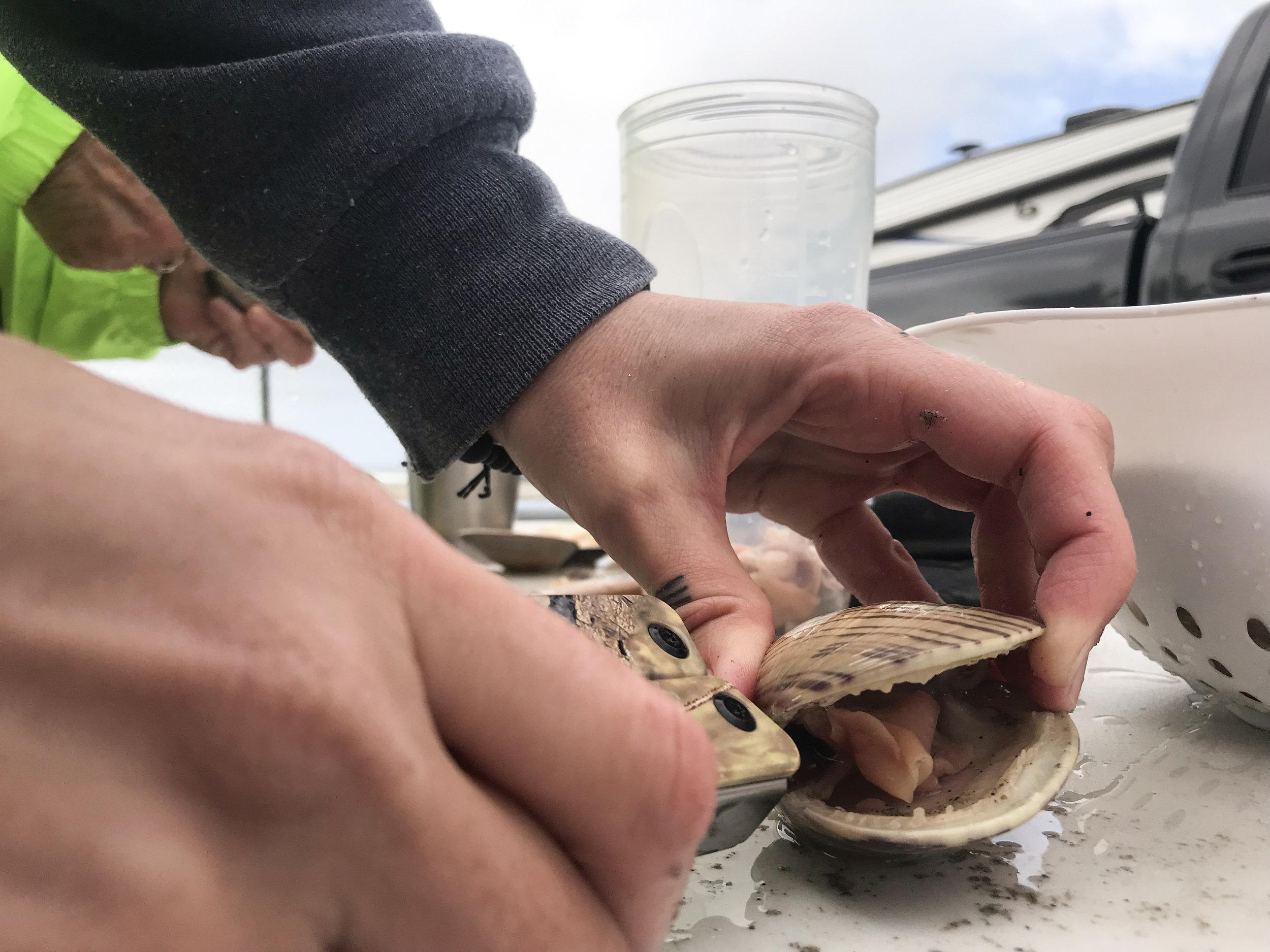 clam beach shucking 3.JPG