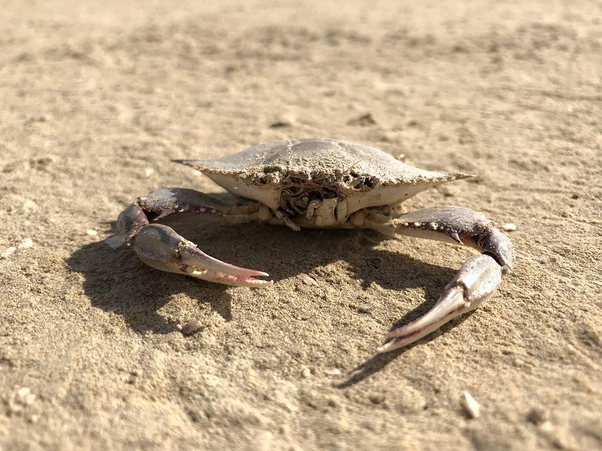 Ojo crab websize.jpg