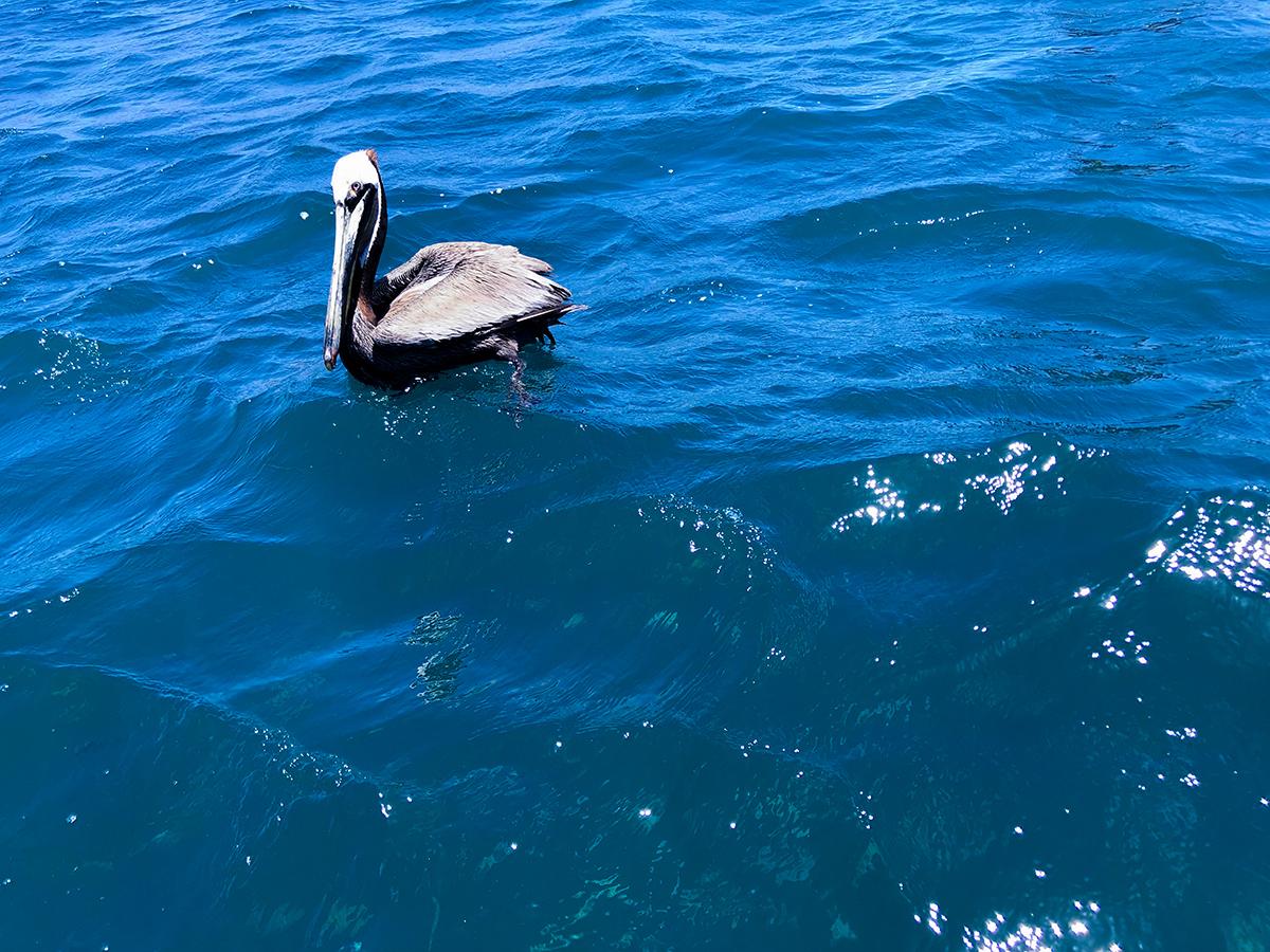Cabo pelican websize.jpg