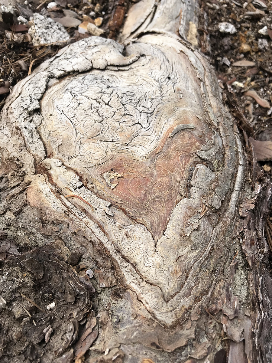 Heart shaped roots in the San Jacinto Mountains.