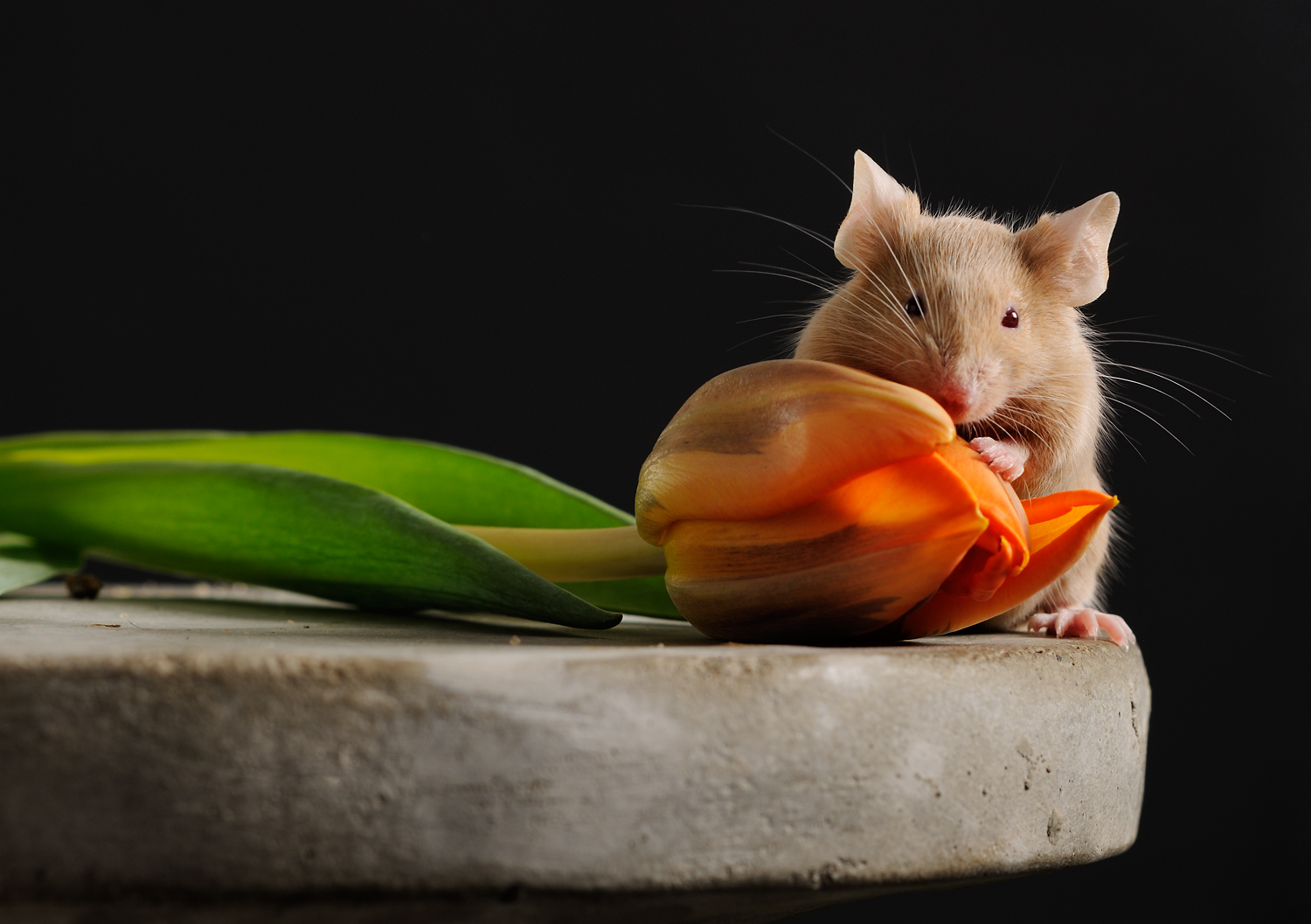 With a little patience, a mouse will pose - the tulip represents the Dutch company that breeds special mice