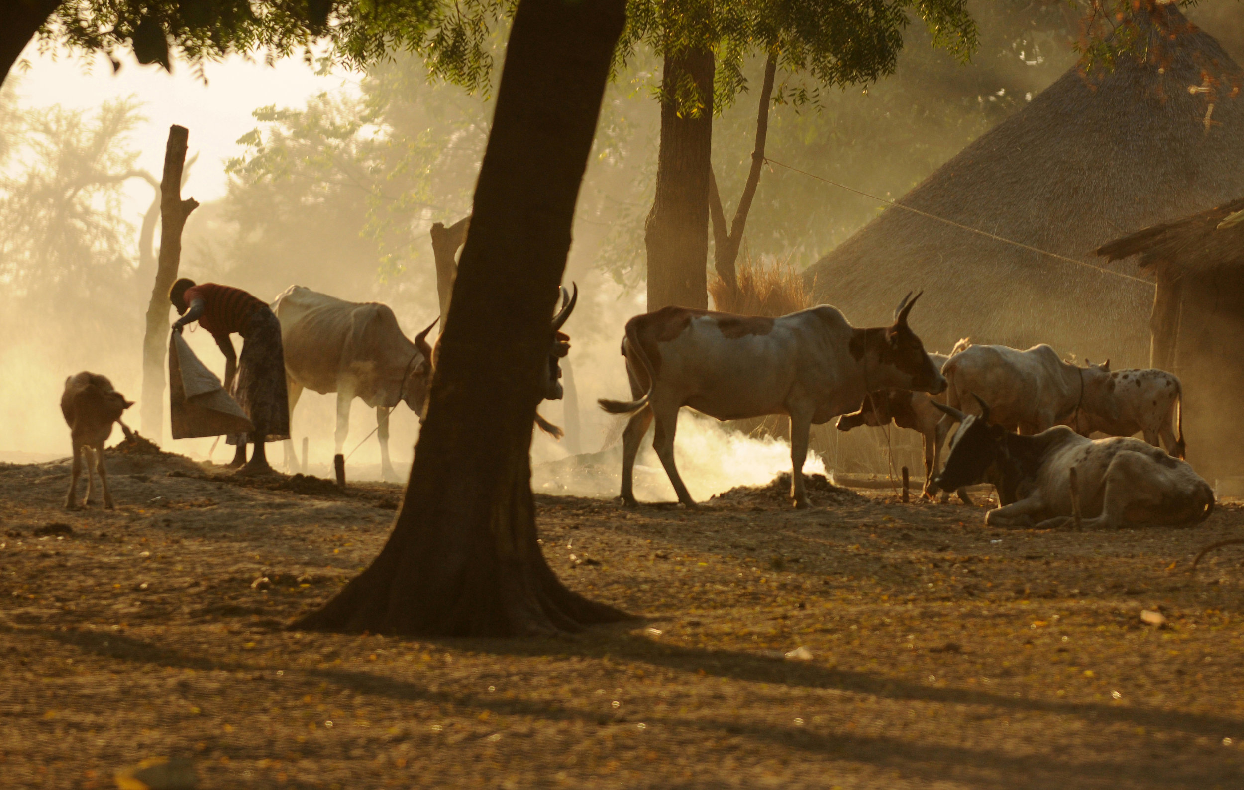 Cows symbolize wealth in South Sudan. Many regions, including Jonglei State, where Duk Payuel exists, are prone to deadly cattle raids by militias.