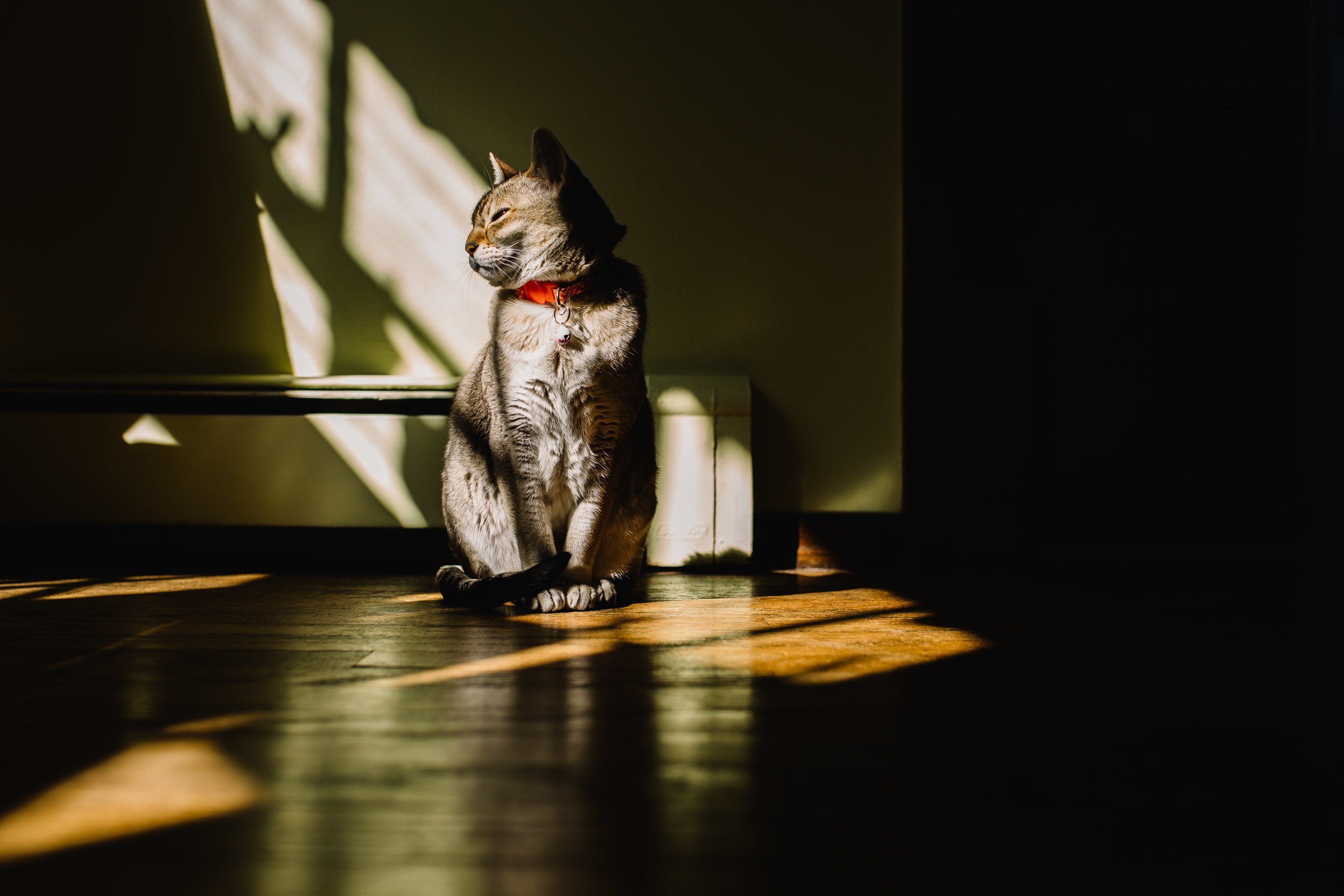 singapura cat | Jennifer Tippett Photography