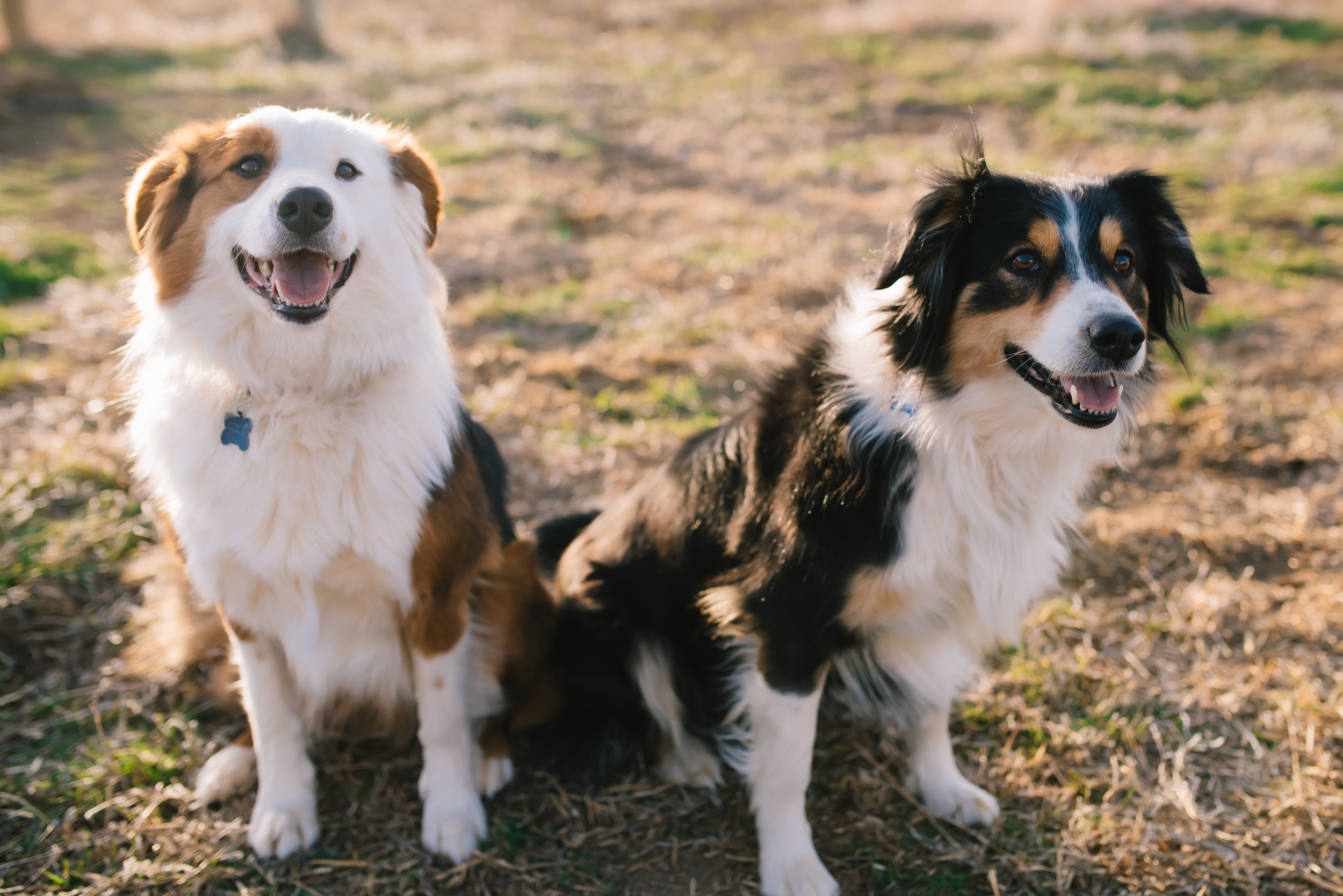 english-shepherd-puppies-fort-collins-colorado