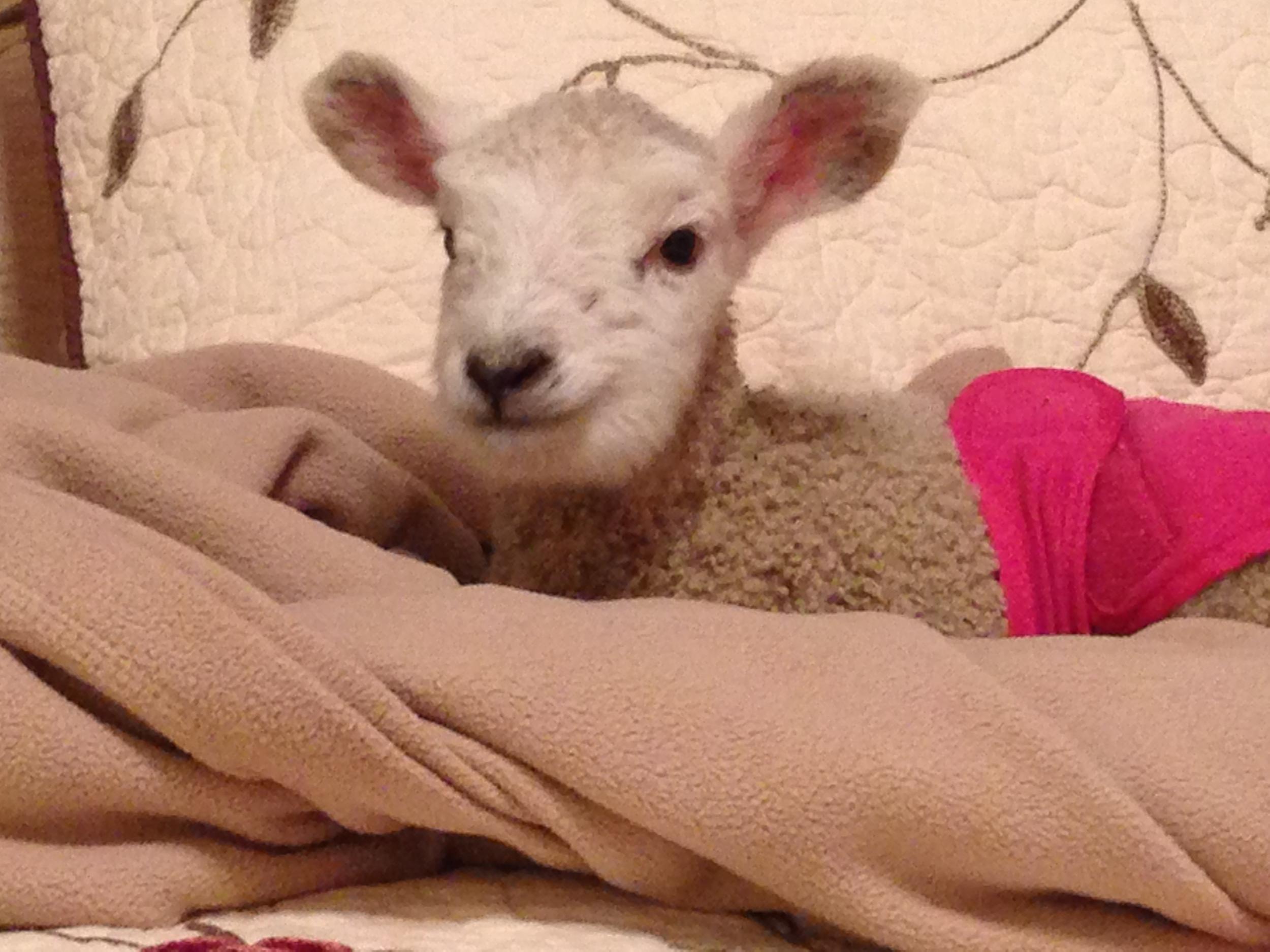 spring-lambs-northern-colorado-small-acre-farm