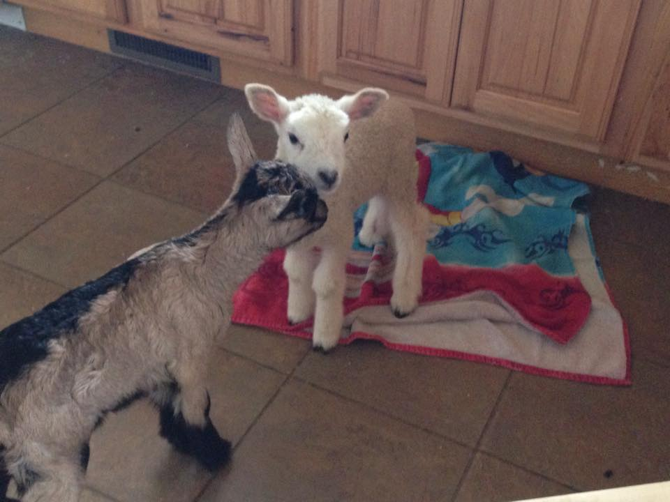 lambs-in-spring-fort-collins-northern-colorado-small-acre-farm
