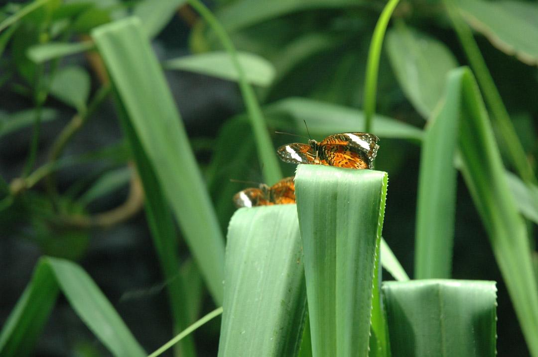 Butterflys.jpg