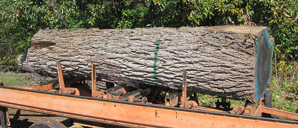 A nice walnut log ready to be milled into chair wood