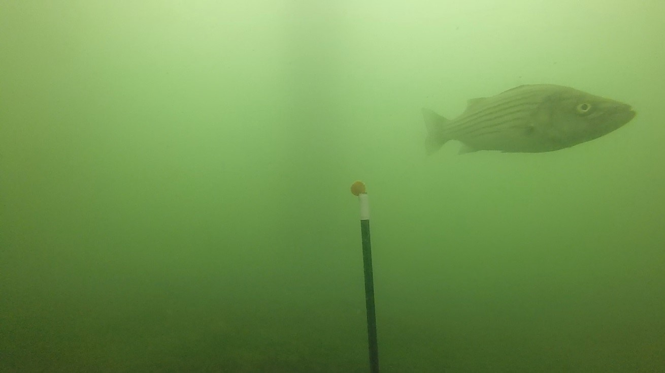 A squidpop, investigated by a curious striper ( M. saxatilis ).