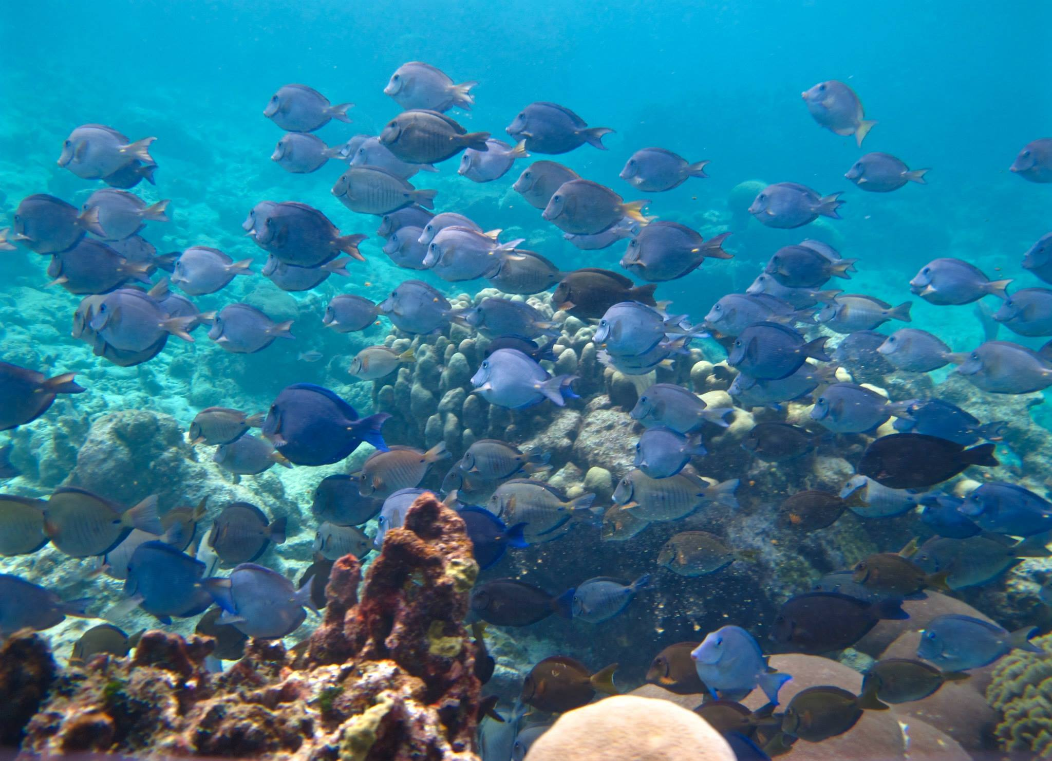 A mixed school of Caribbean surgeonfishes, key algal consumers on coral reefs.
