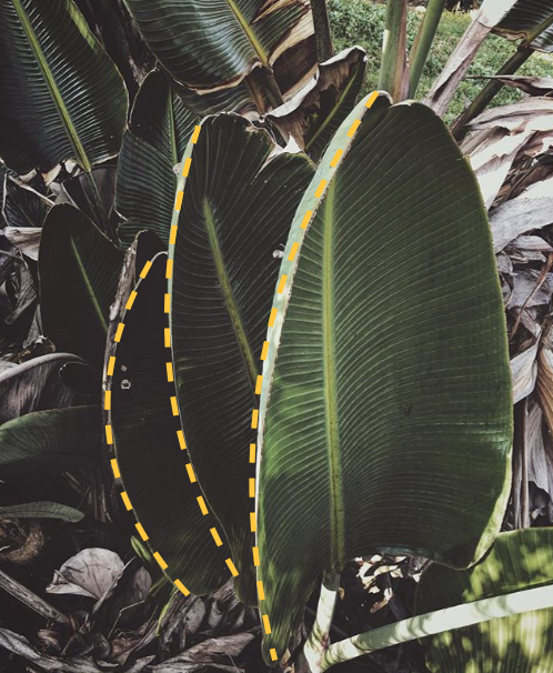 The curved lines of these banana leaves create a repeating pattern on this image.