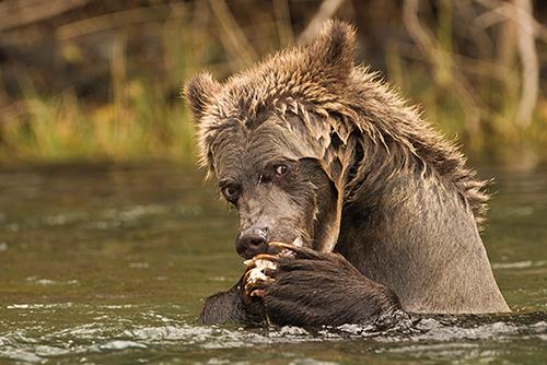 garry revesz_Grizzly Cub.jpg