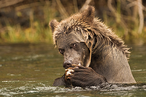 garry revesz_Grizzly Cub.jpg