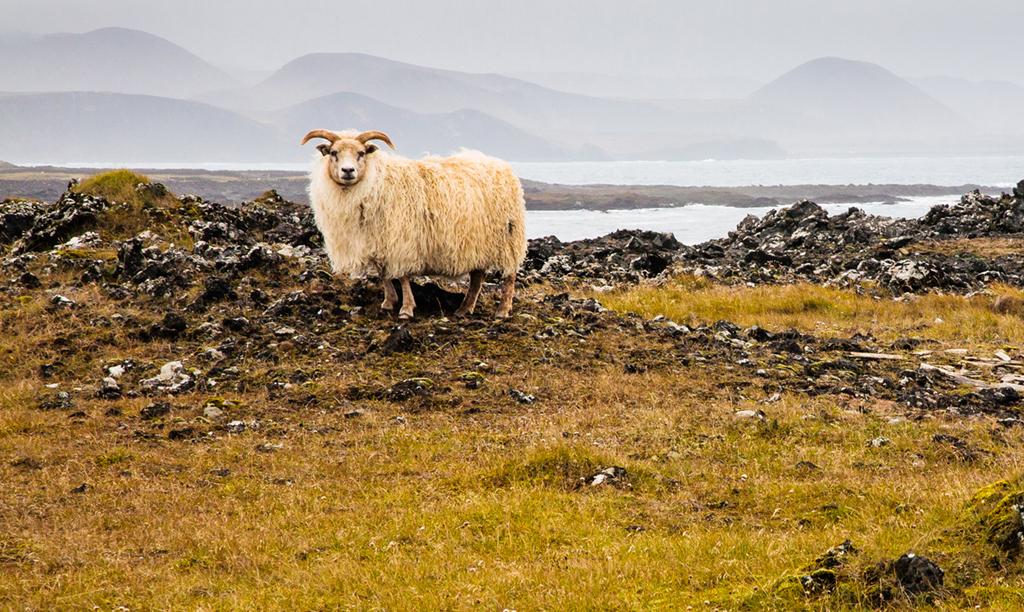 RobertLeaper_4_Lone Sheep_Iceland.jpg