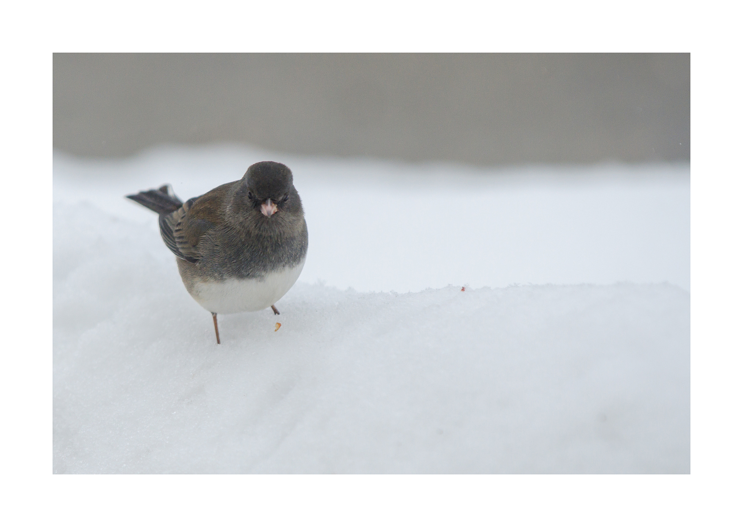 Dark-eyed Junco  - Nikon D7000 ISO 800 200mm f/5.0 1/1250 sec.