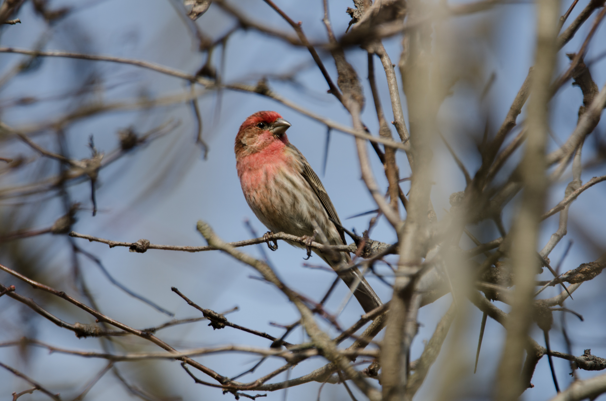 House Finch  Nikon D7000 ISO 250 600mm f/6.3 1/500 sec