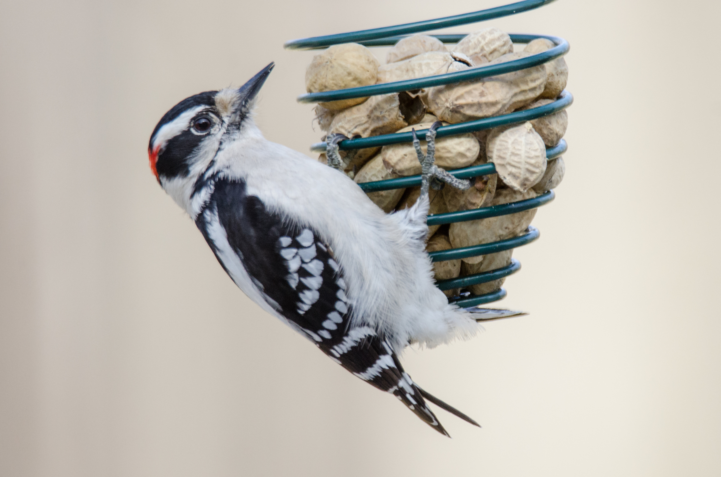 Downy Woodpecker  Nikon D7000 ISO 800 600mm f/6.3 1/800 sec with flash