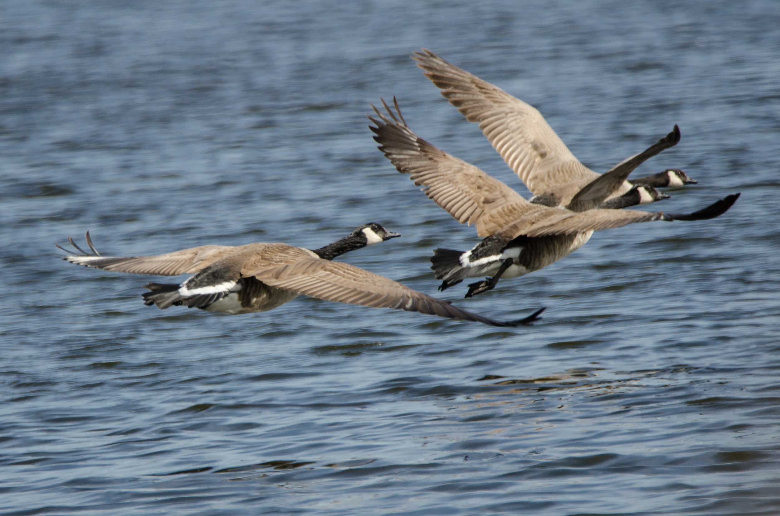 Canada Geese in Flight  Nikon D7000 ISO 400 600mm f/8.0 1/1600 sec.