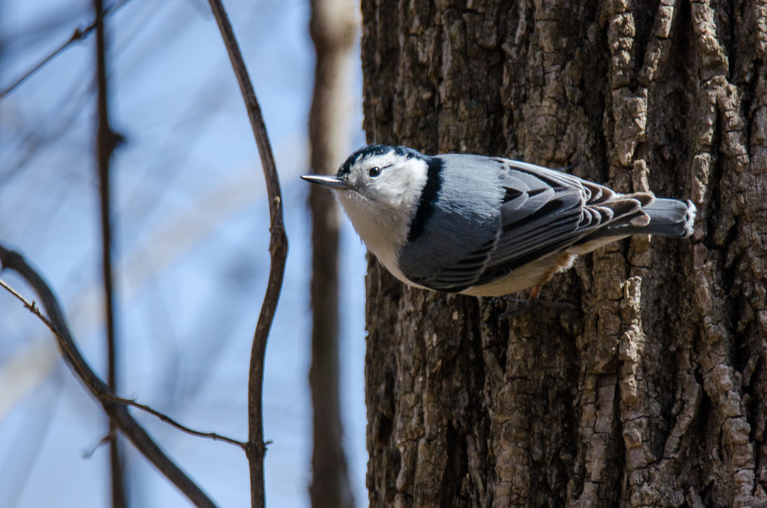 White Breasted Nuthatch  Nikon D7000 ISO 400 600mm f/6.3 1/1600