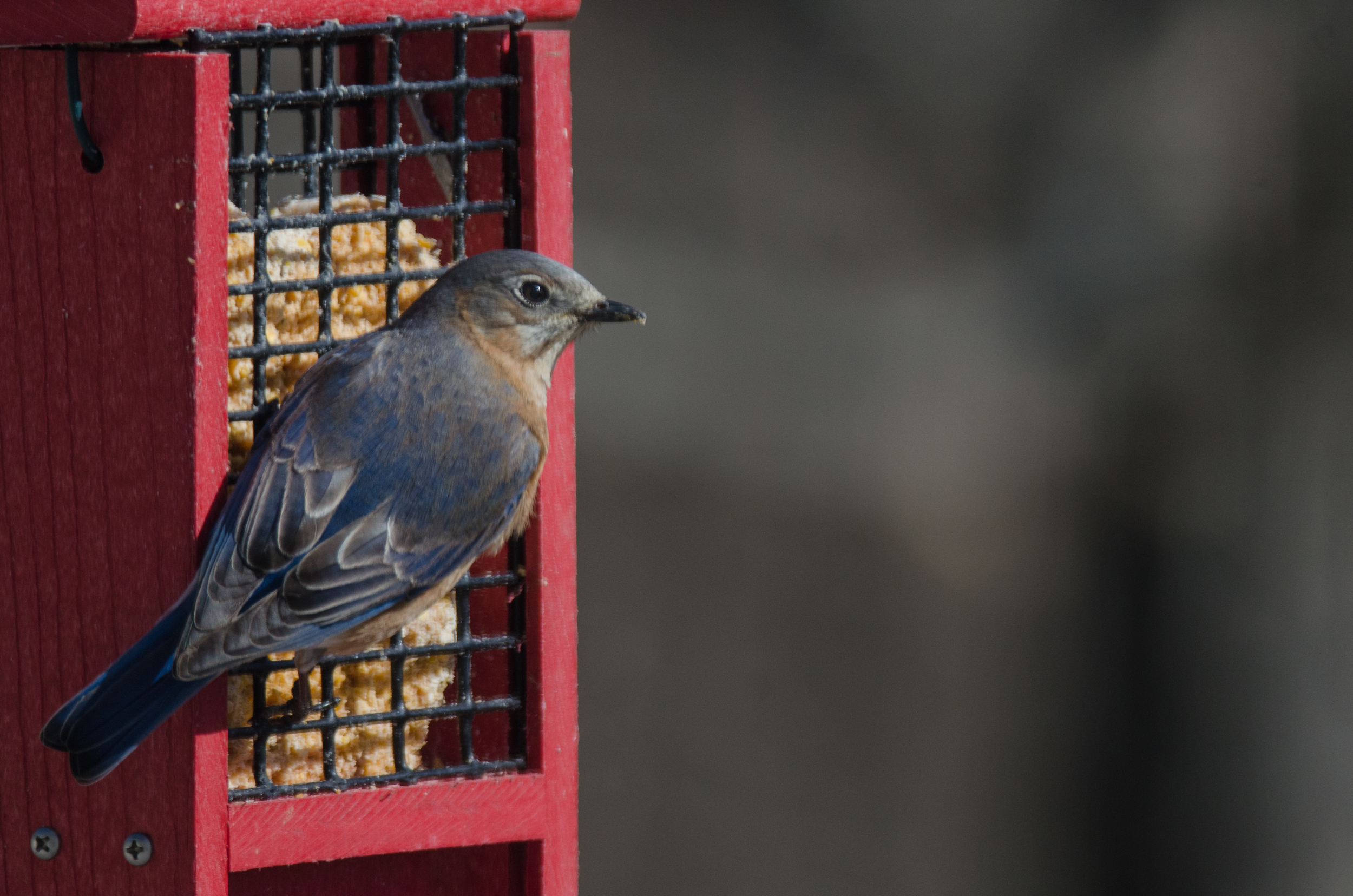 Female Eastern Bluebird  Nikon D7000 ISO 400 450 mm f/6.0 1/1600