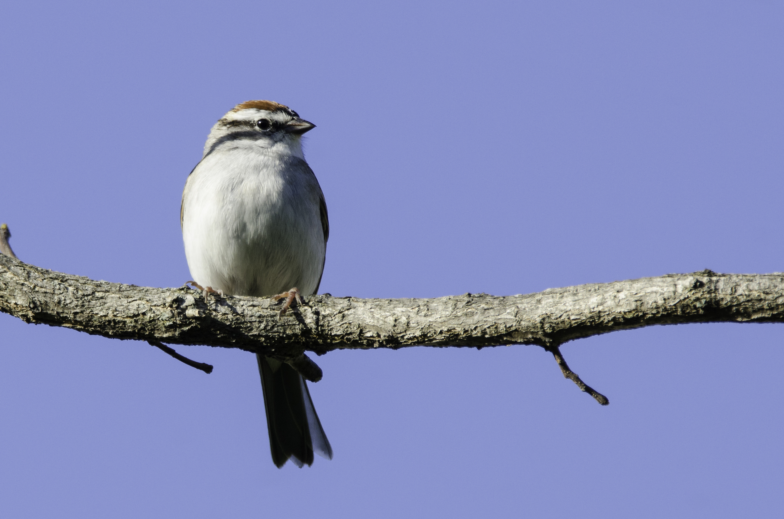 Chipping Sparrow  Nikon D7000 ISO 500 500mm f/10 1/640 sec.